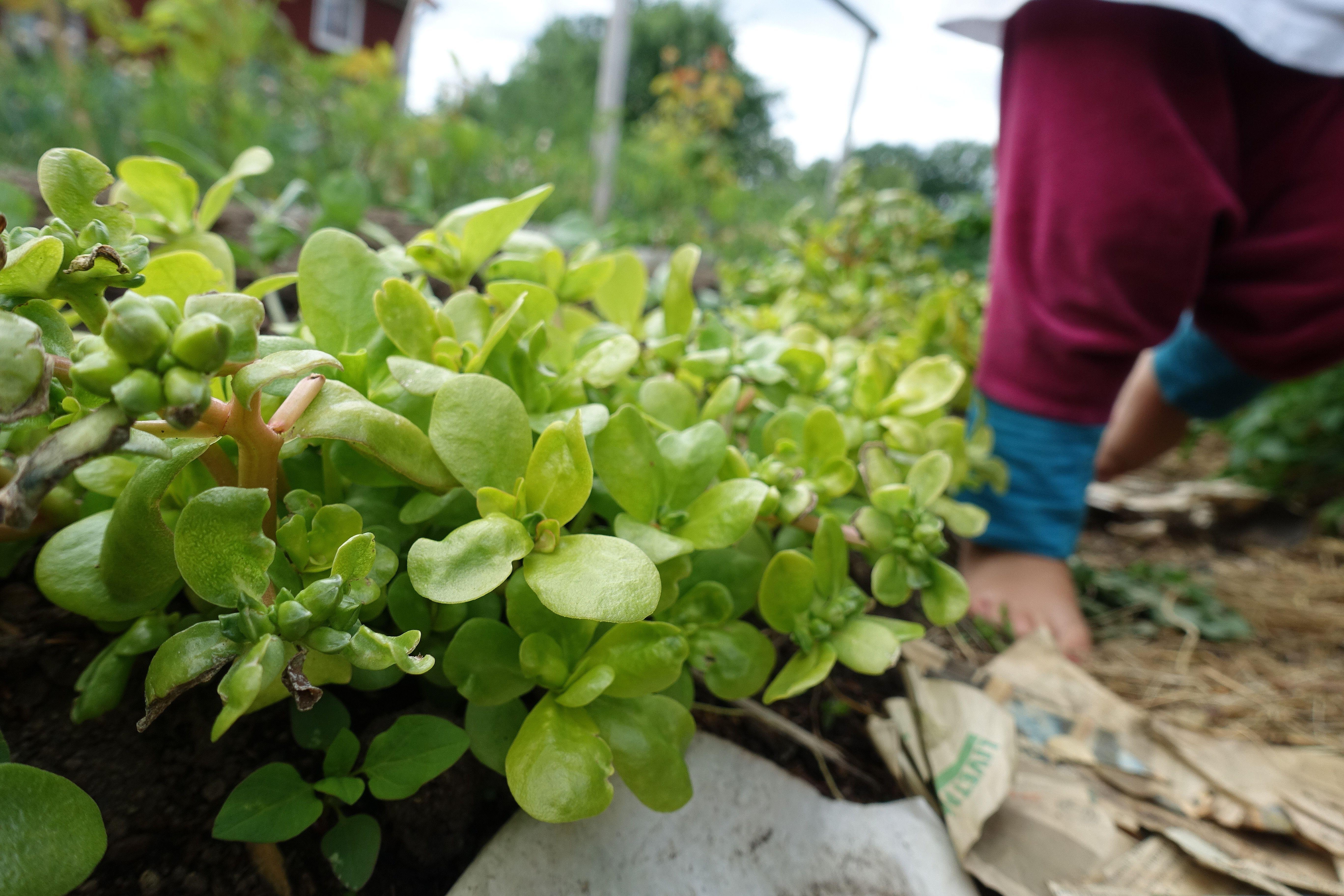 En låg bild på gröna plantor och barnfötter. Gardening with kids, plants and little feet.