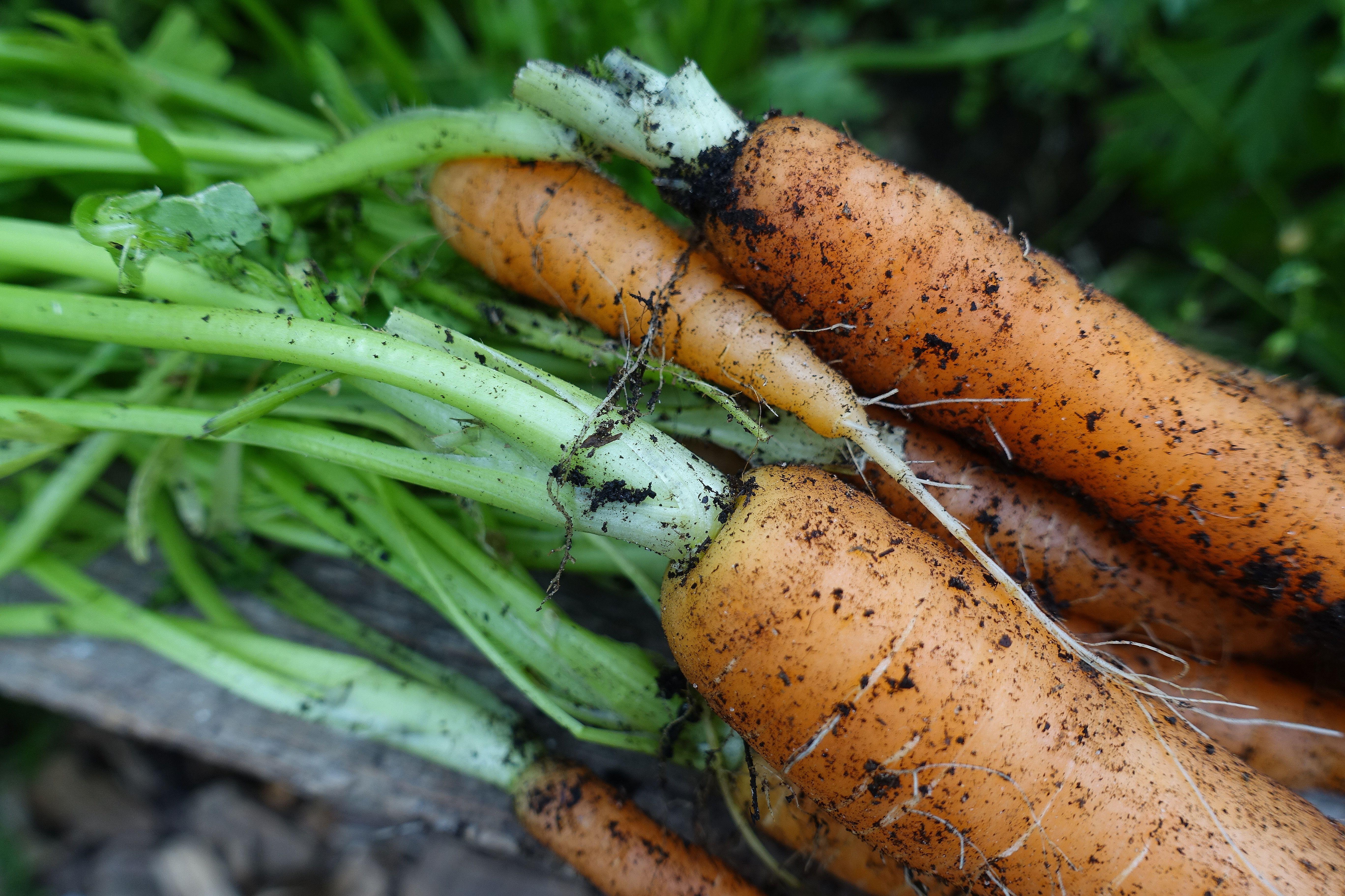 Närbild på ovandelen av en morot. Harvesting carrots, close-up of a carrot.