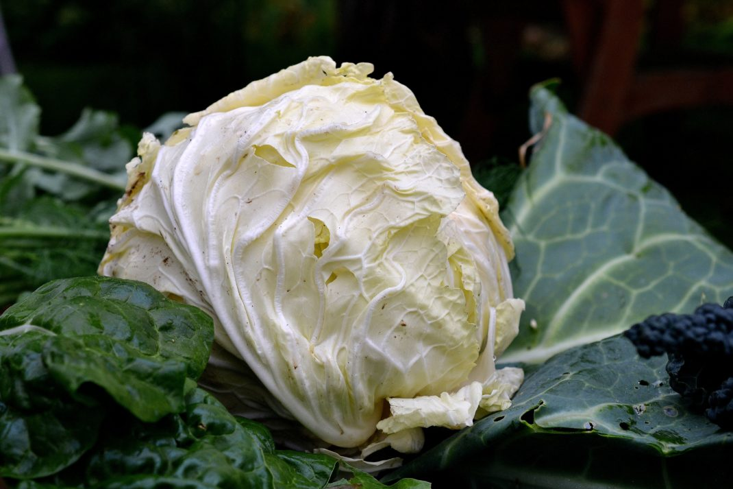 A nearly white cabbage.