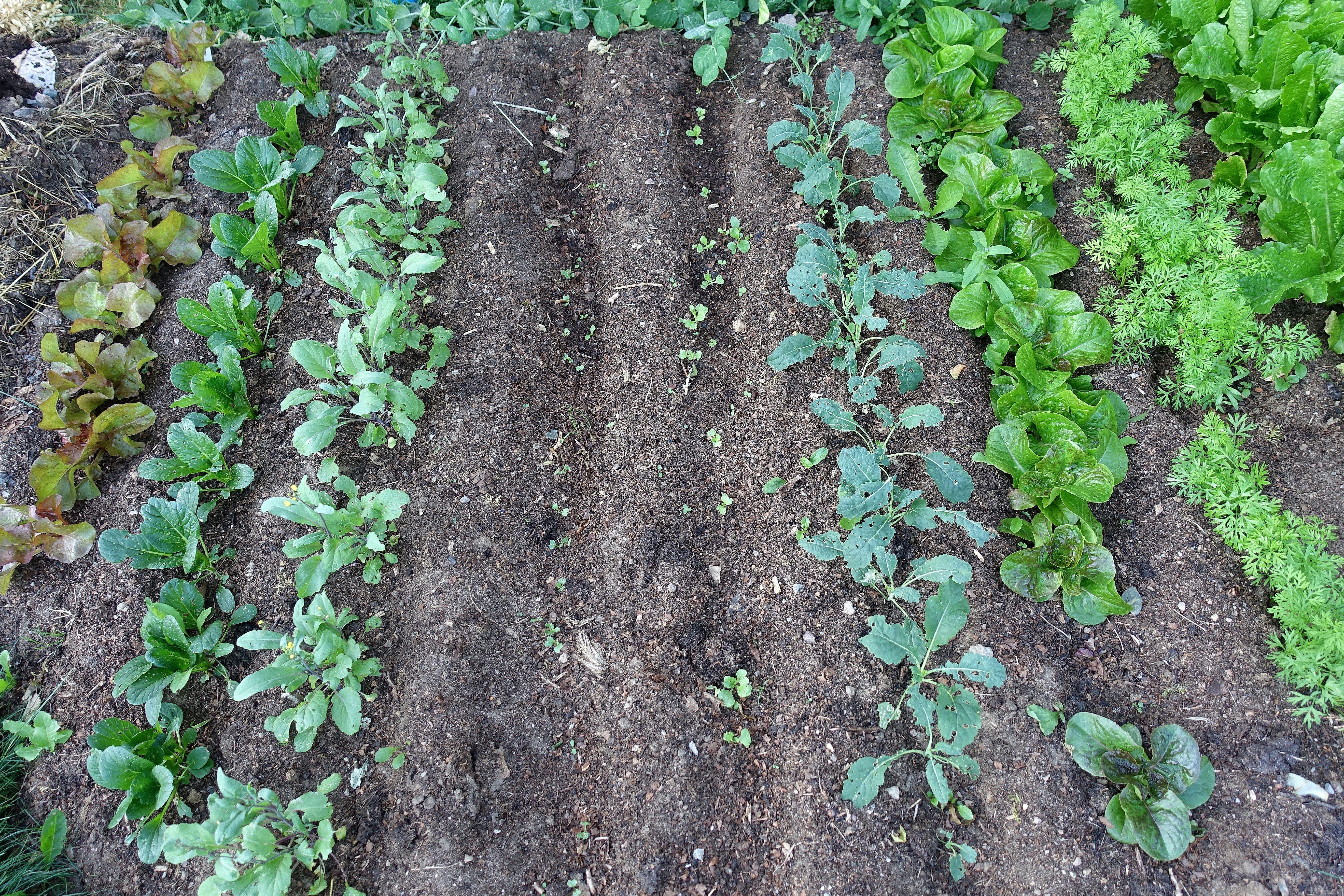 Bild på bladgrönsaker, små, i täta rader i svart jord. Grow in shade, leafy greens in the black soil.