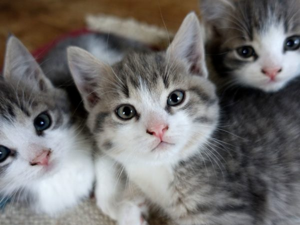 Tre näpna små kattungar i grått och vitt bredvid varandra, alla tittar i kameran.