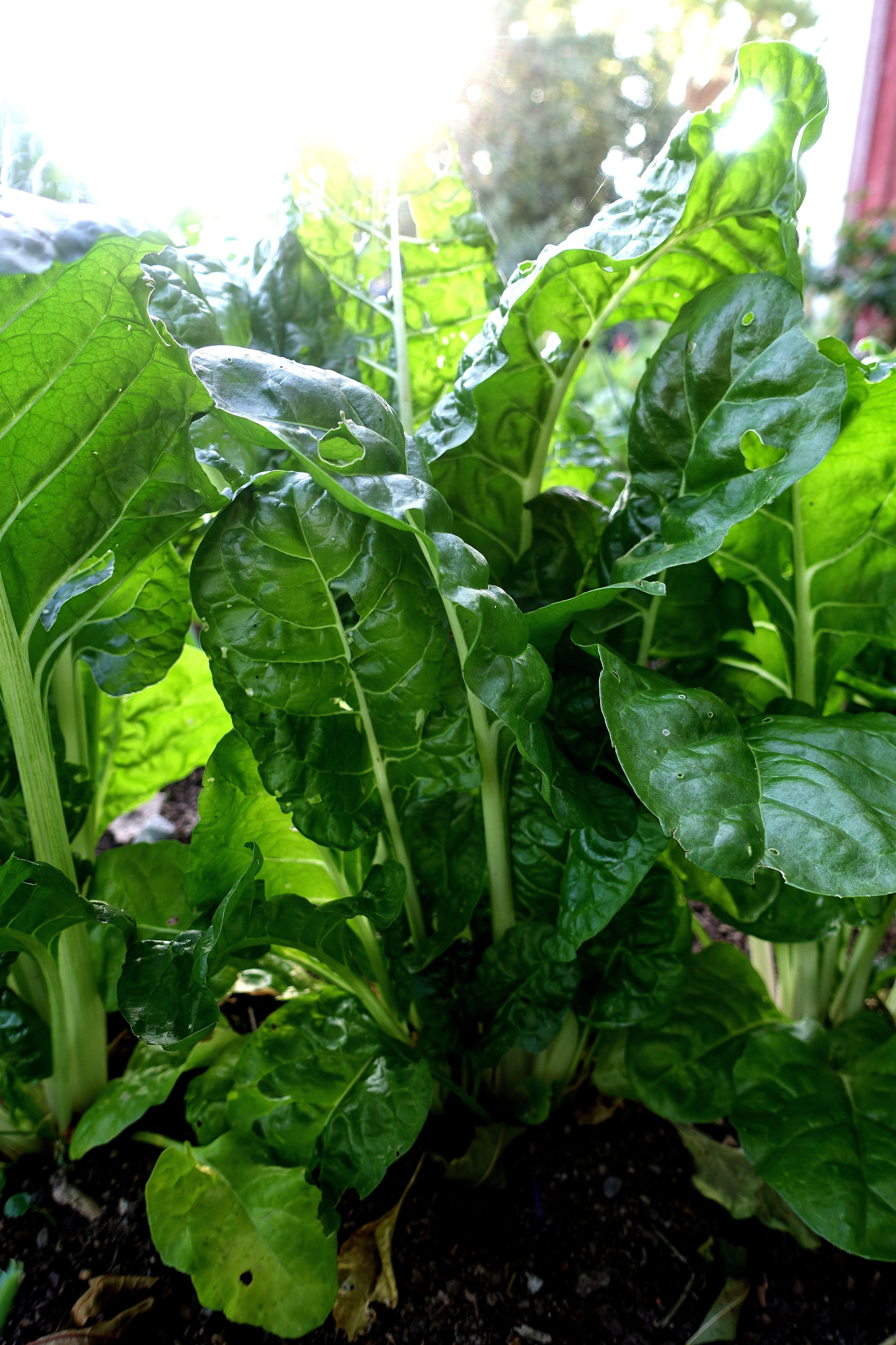 Illgröna mangoldplantor fotograferade i motljus. Grow in shade, chard in backlight.