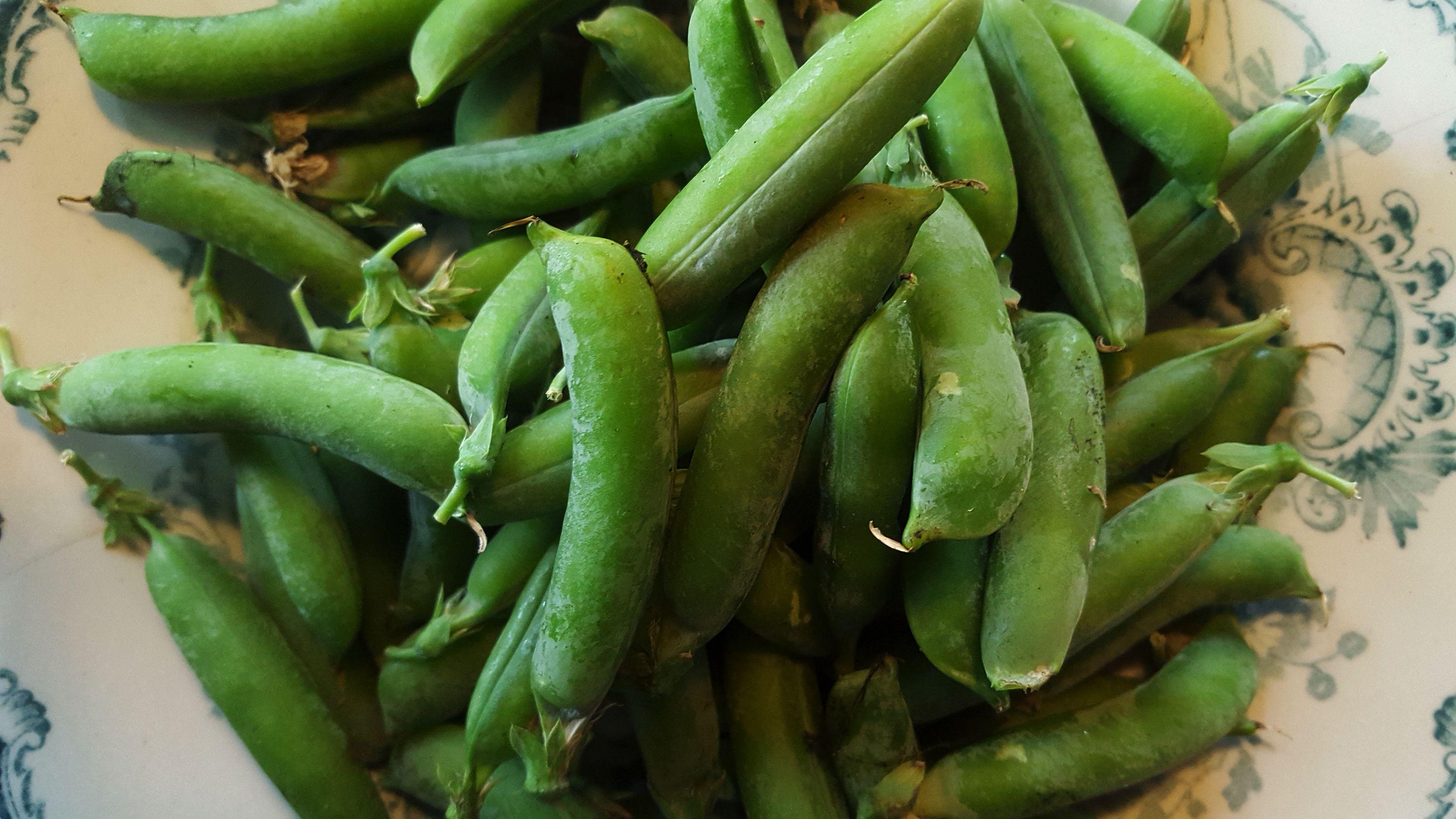 En tallrik med färska, ej skalade, gröna ärter. Harvesting tips, peas.