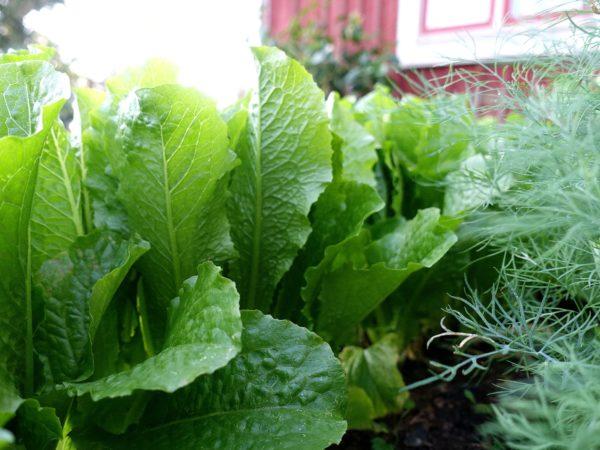 En rad med vackert grön sallat i små upprätta huvuden.