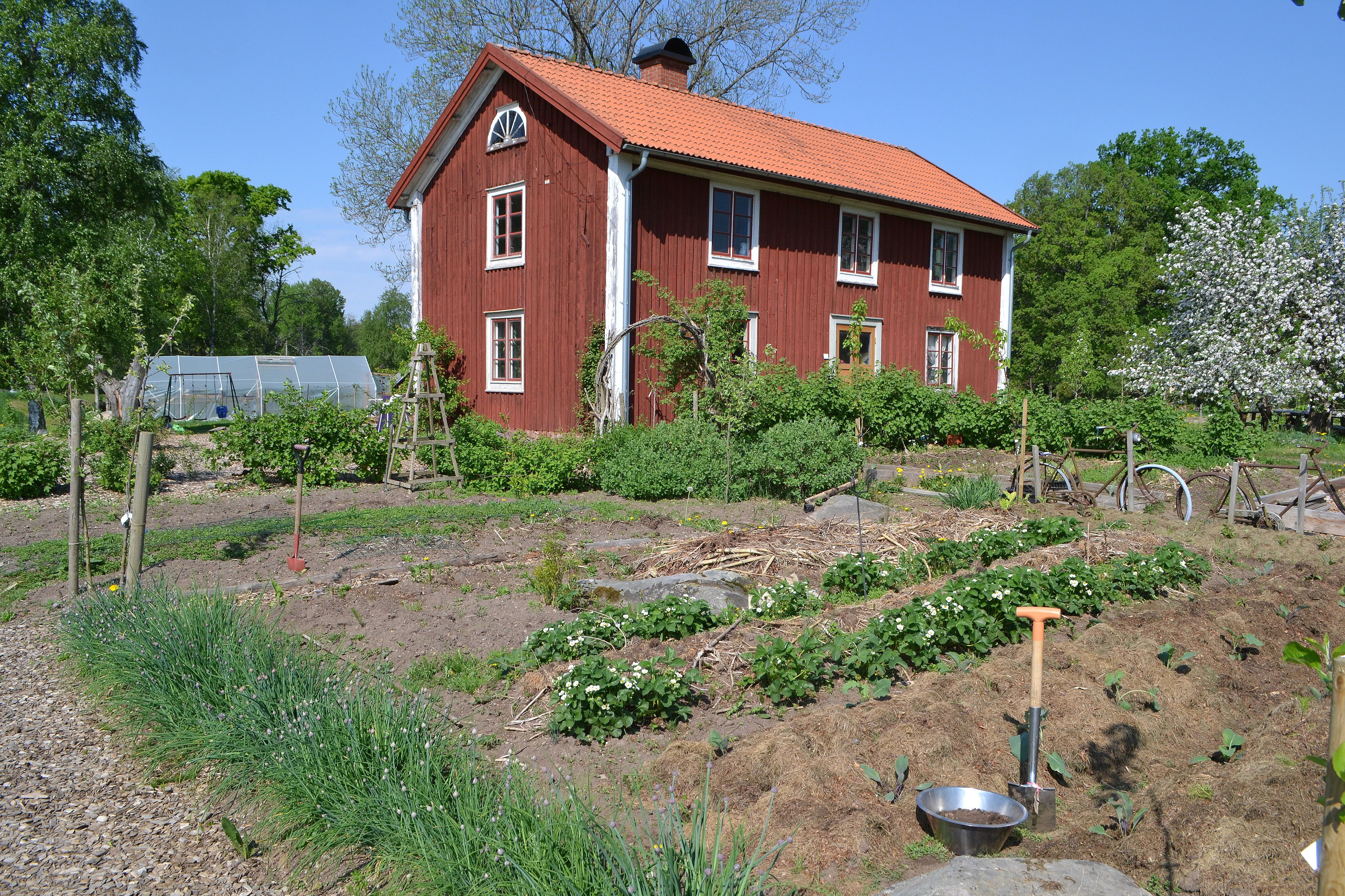 En köksträdgård med låg växtlighet, full sol och stort rött bostadshus i bakgrunden. Soil analysis, the kitchen garden in full bloom.