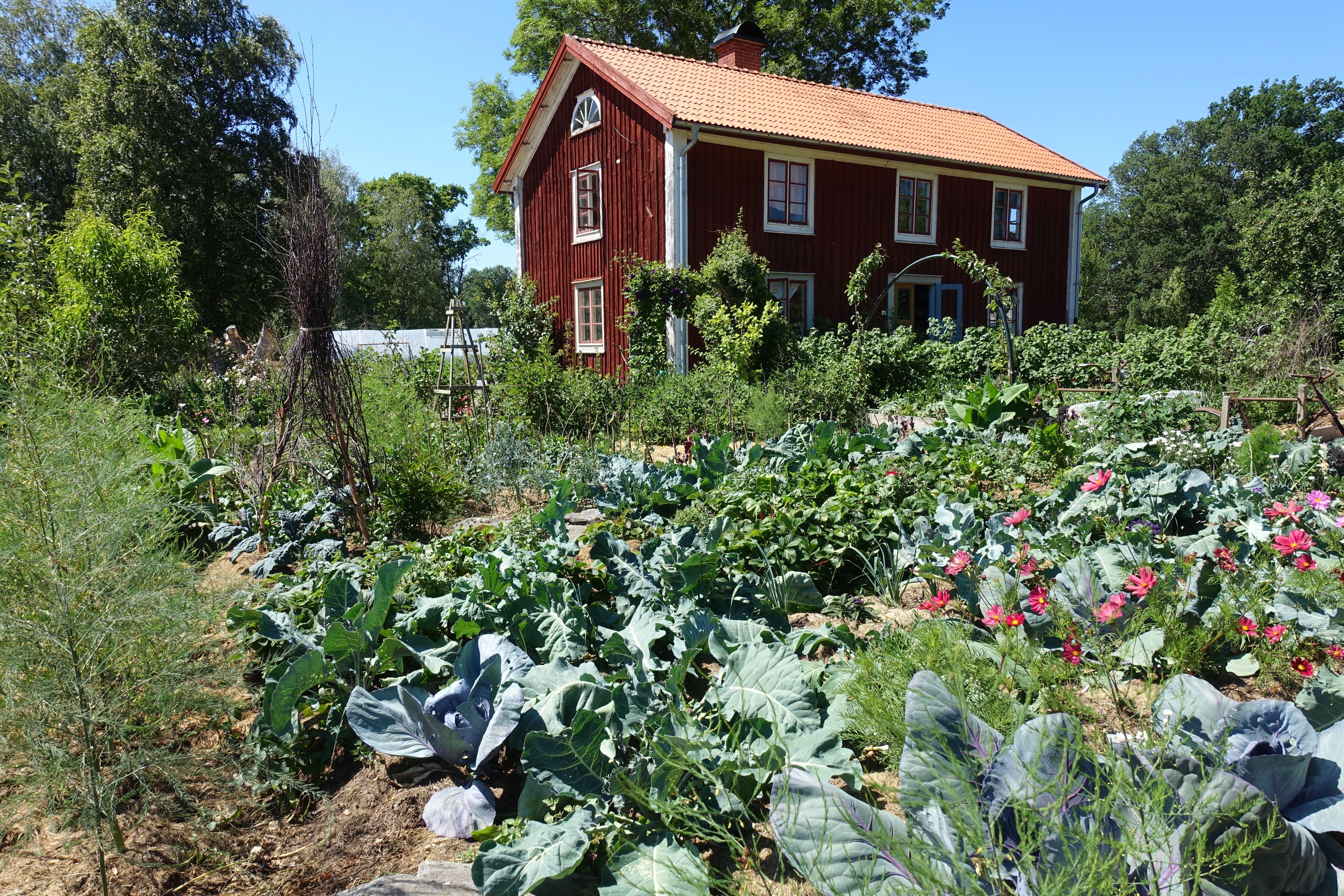 En frodig köksträdgård med kål och sommarblommor framför ett stort rött trähus.
