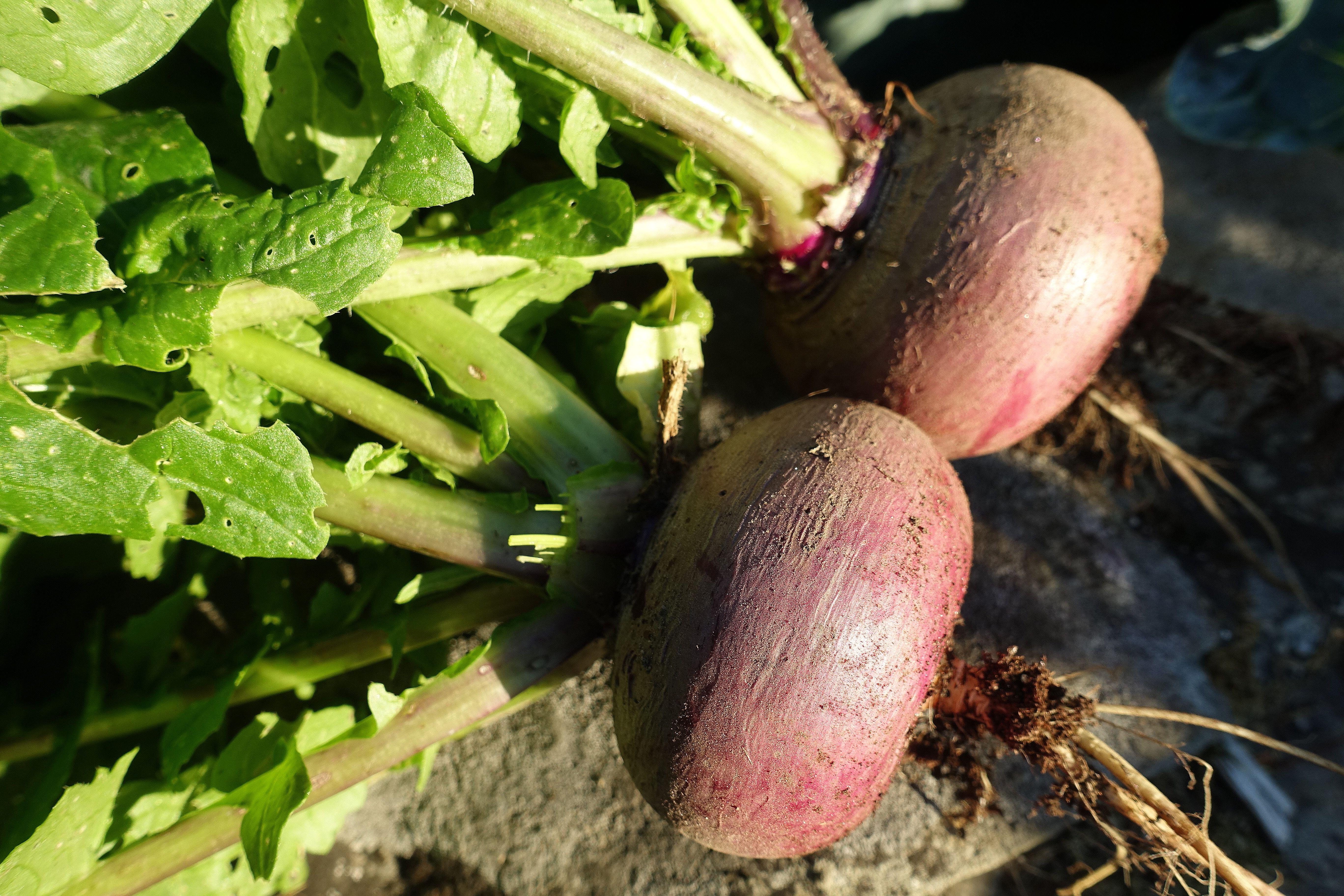 Två lila svedjrovor ligger på en sten i skarpt solljus. Growing turnip, sunlight