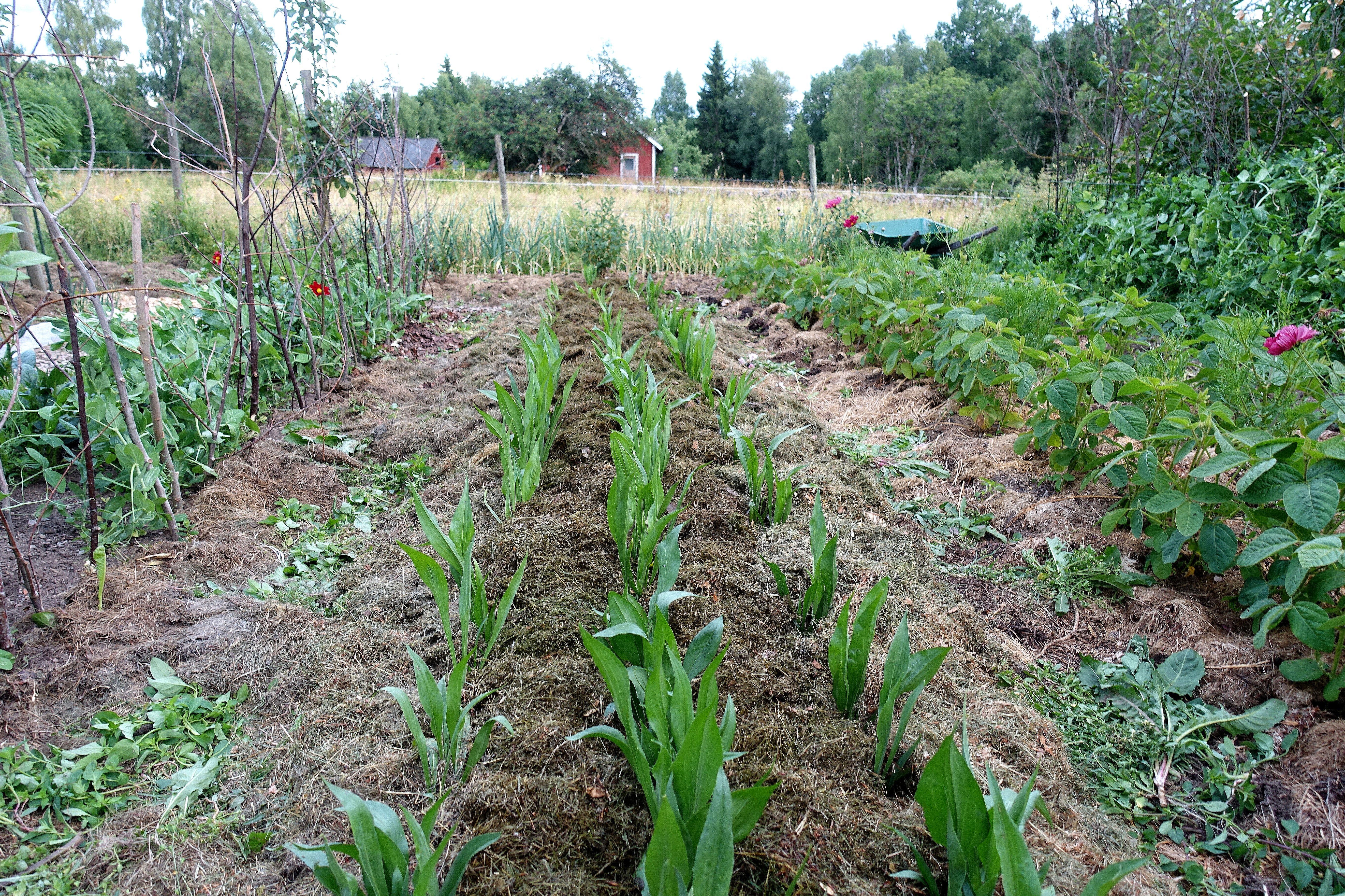 En lång bädd täckodlad med gräsklipp och tre rader svartrot som växer i bädden.