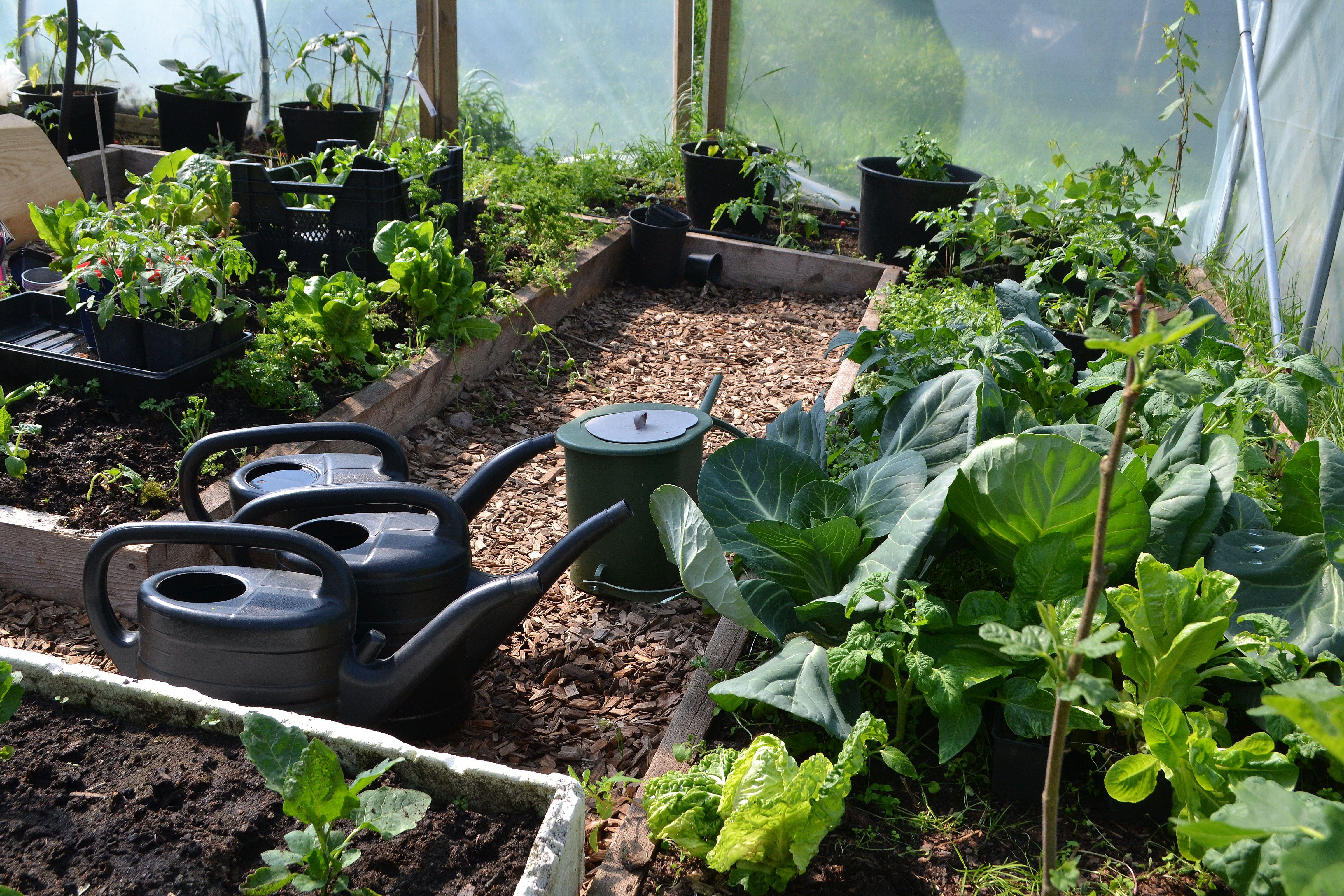 Låg grön växtlighet i bäddar i tunnelväxthus. Soil analysis, greenhouse beds.