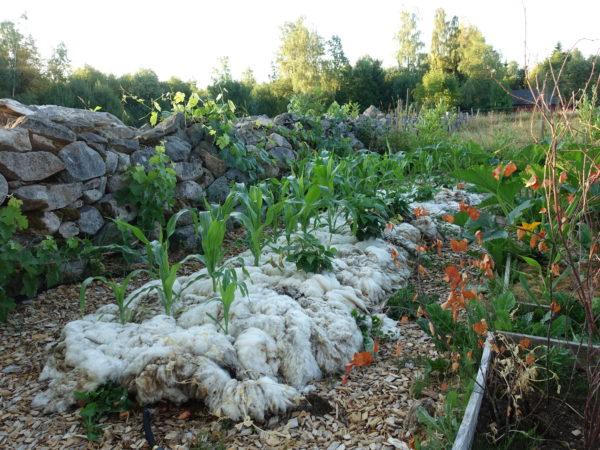 En odlingsbädd täckt med ull vid en stenmur.
