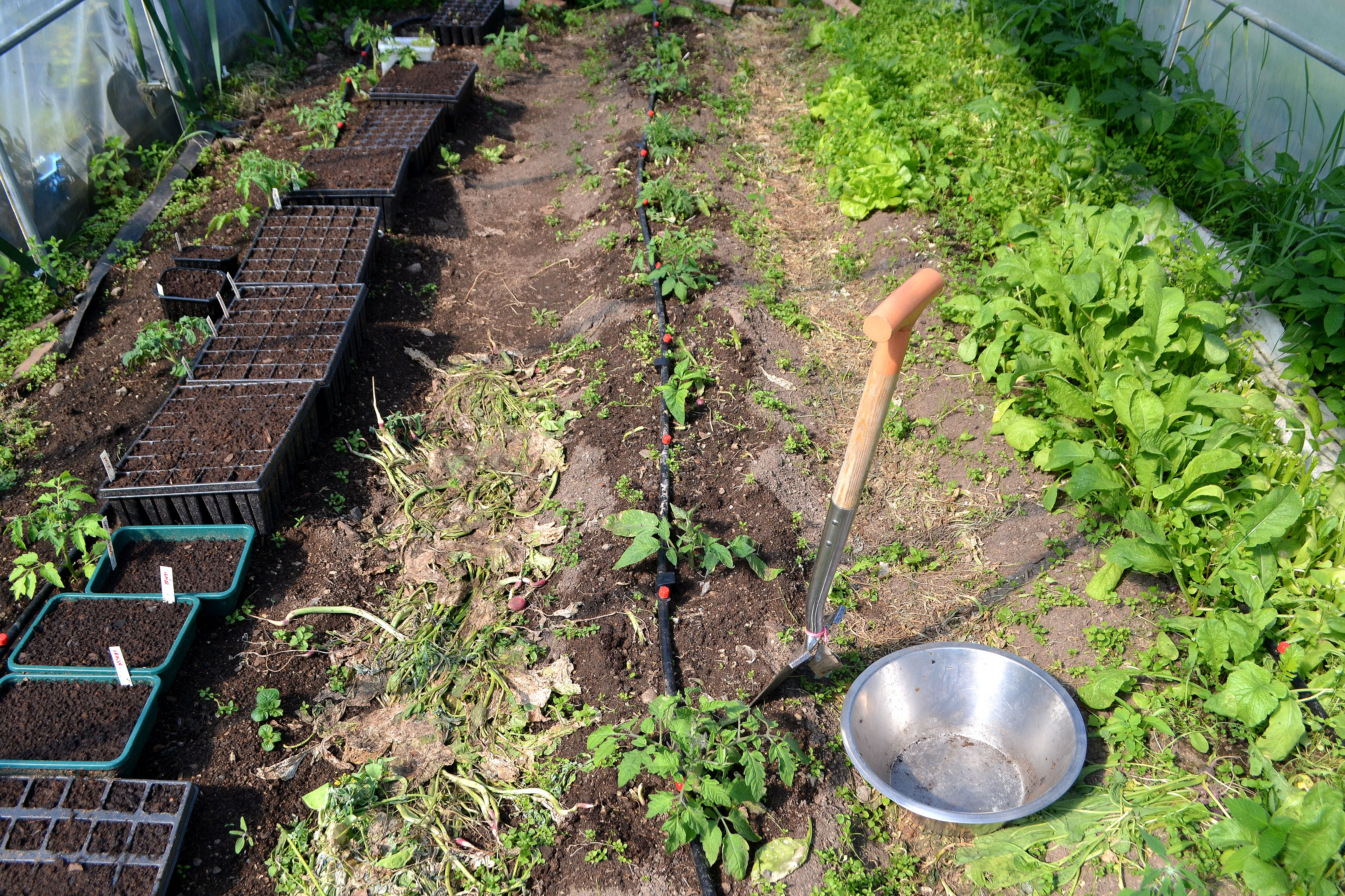 Bild på marken med odling i ett litet tunnelväxthus. Soil analysis, small polytunnel.