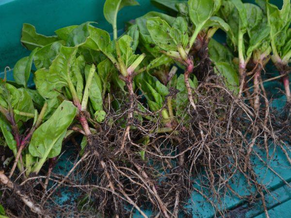 Plantor av spenat ligger med bara rötter i en grön back.