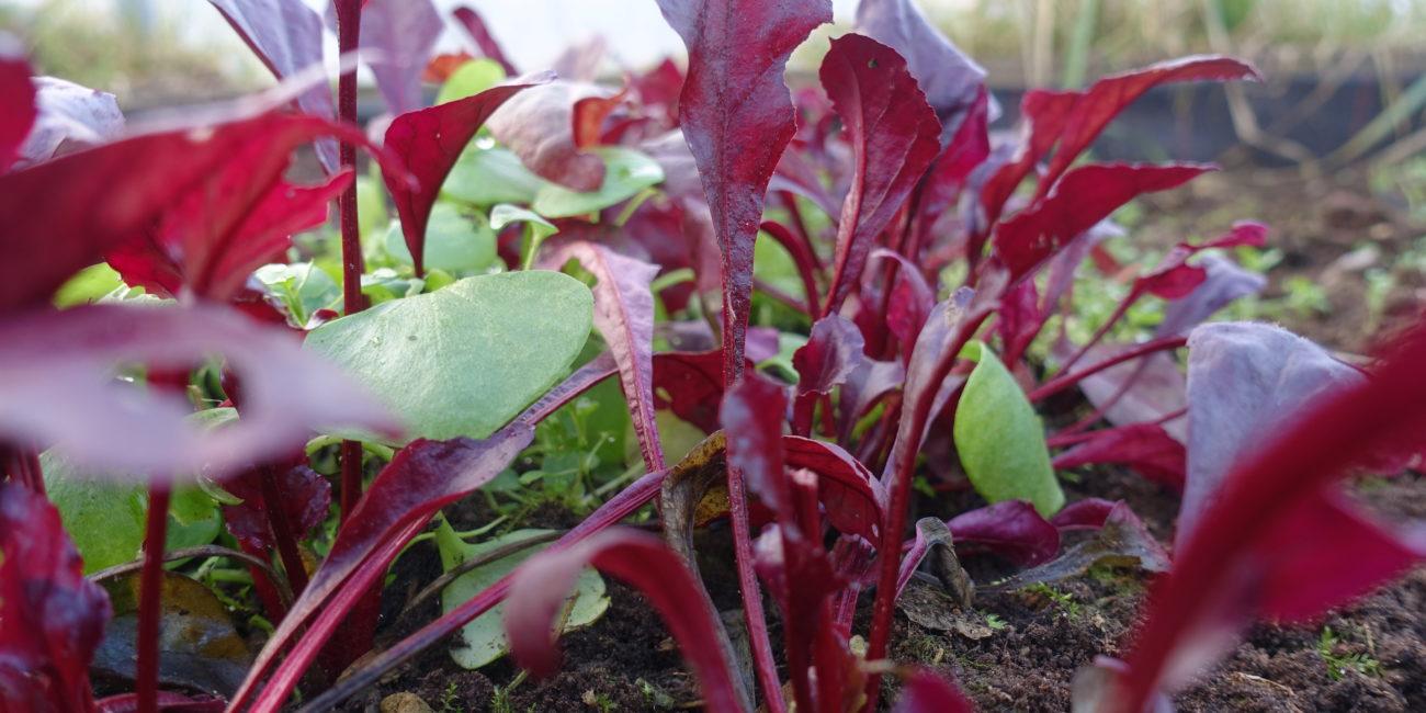 Små blad av betor i lilarött och grönt.