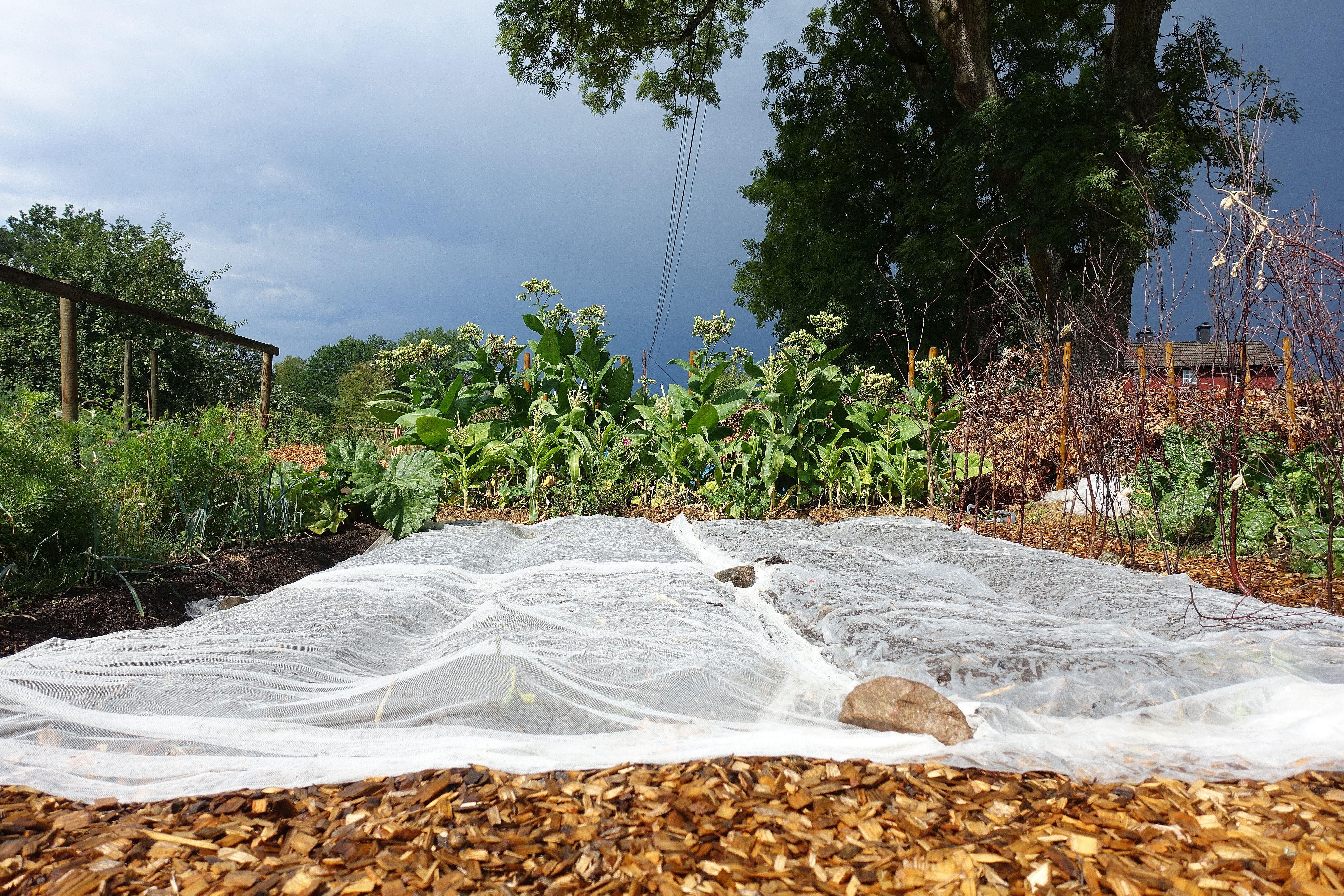 Ett trädgårdsland täckt av fiberduk och mörka moln täcker himlen ovanför. Summer sowing, my covered beds.