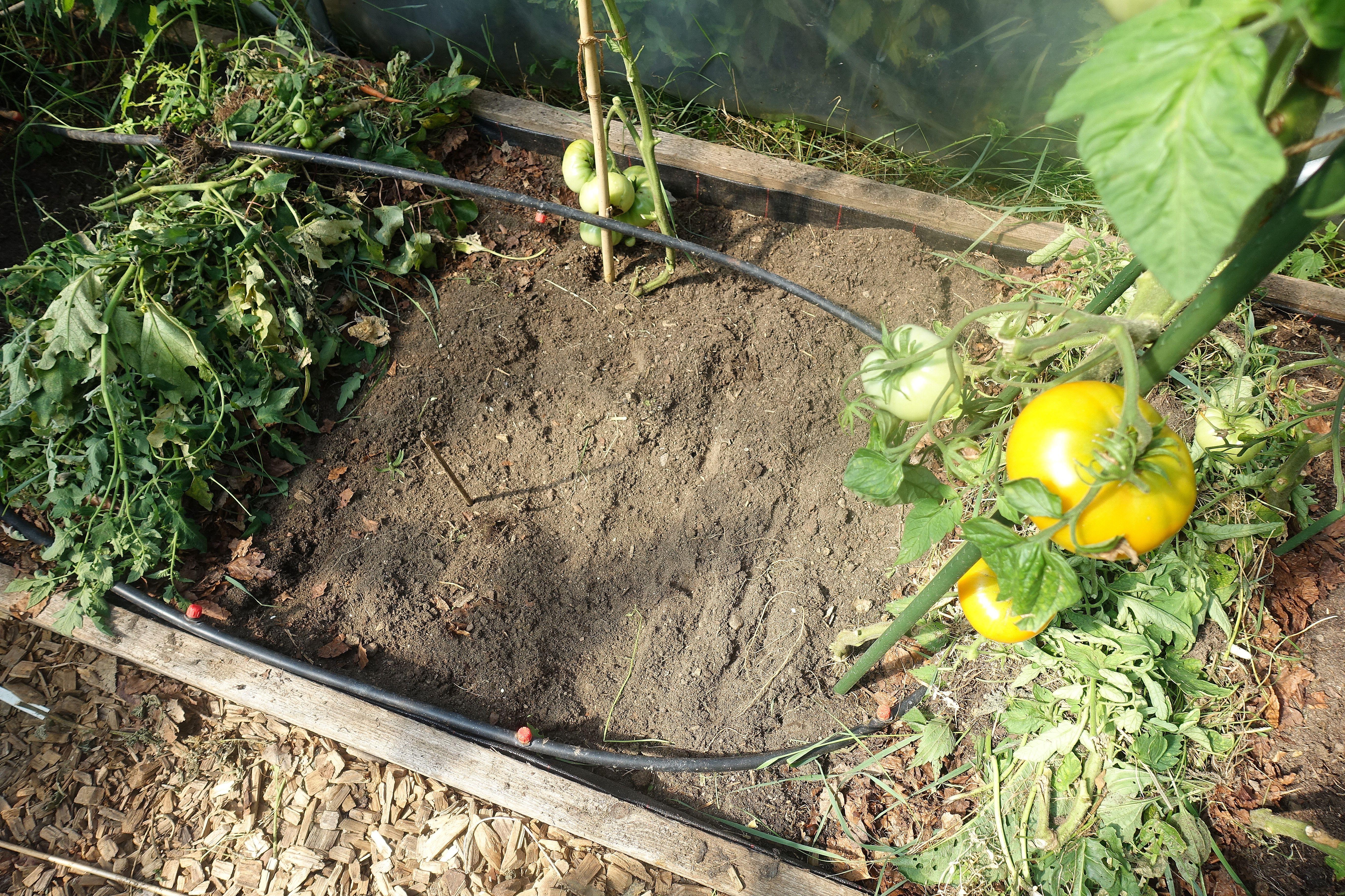 En odlingsram med fyra tomatplantor, en bevattningsslinga och täckodlade små vallar i kanterna. Mulching my polytunnels, a frame with four tomato plants, a hose and mulch ridges.