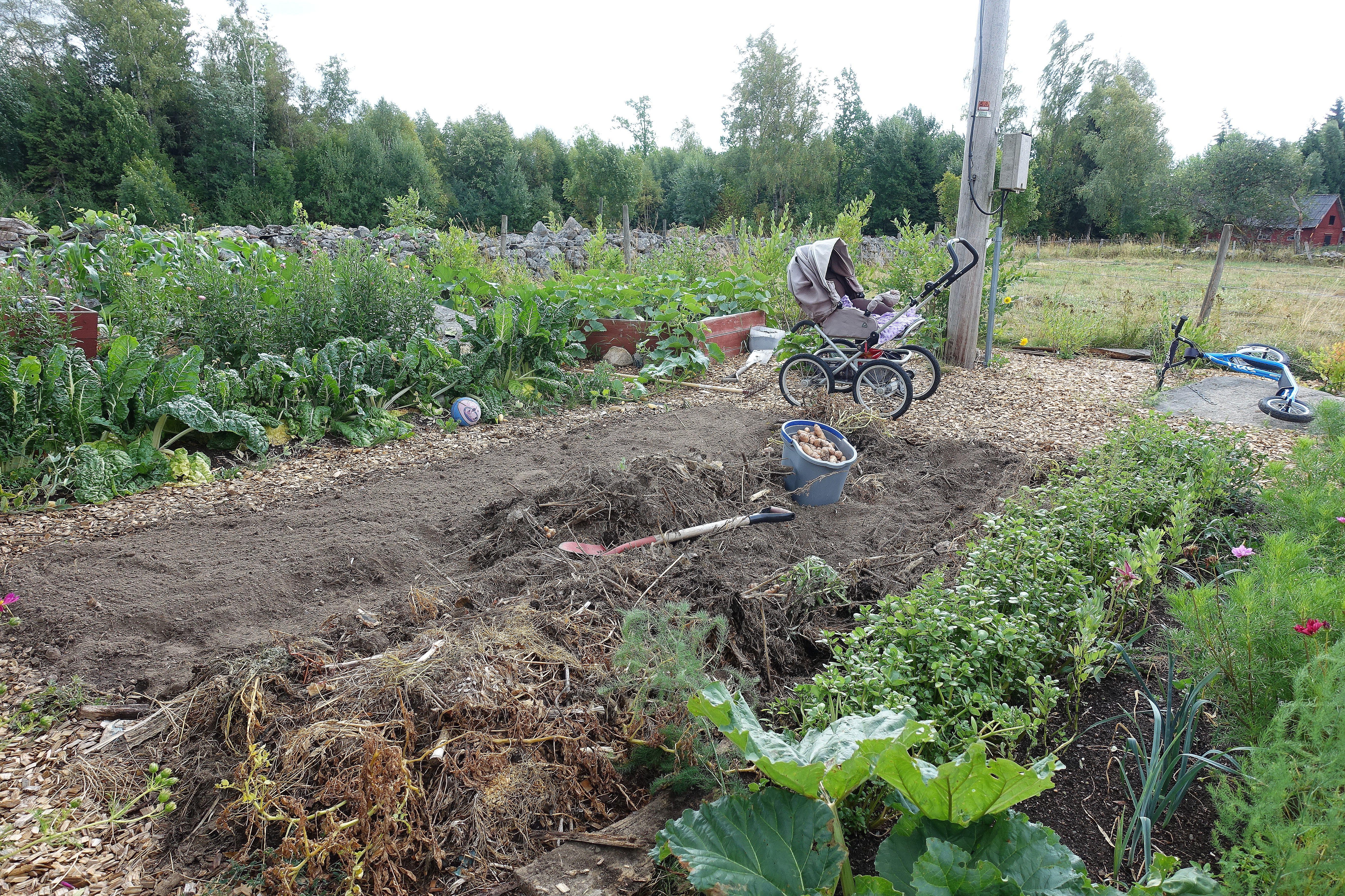 Bild på köksträdgården med odlingsbäddar i förgrunden och en barnvagn i bakgrunden. Summer sowing, beds in the foreground.