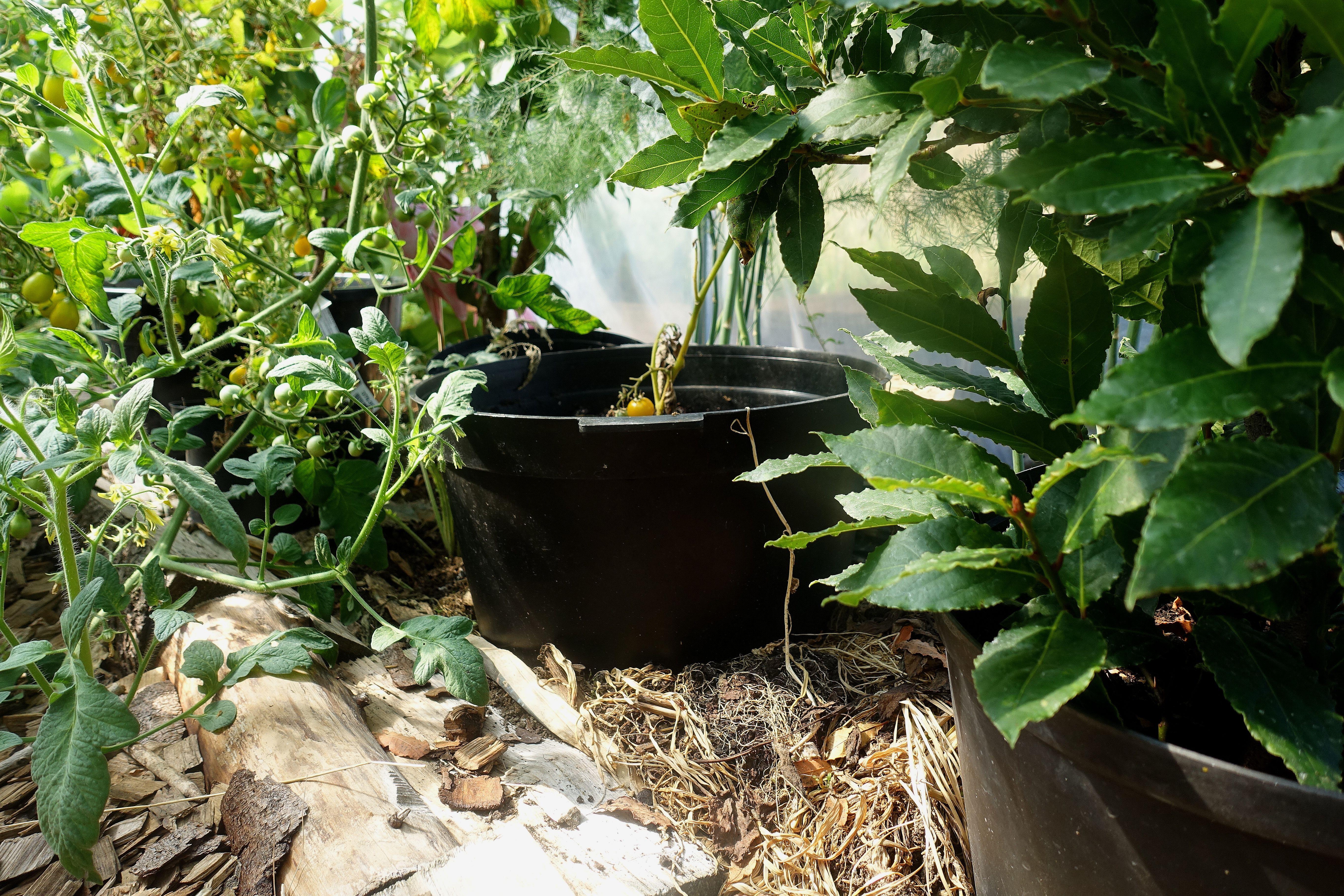 Bild på marken under fruktträd, det står svarta krukor nerborrade i täckmaterialet. Mulching my polytunnels, black pots in the mulch.