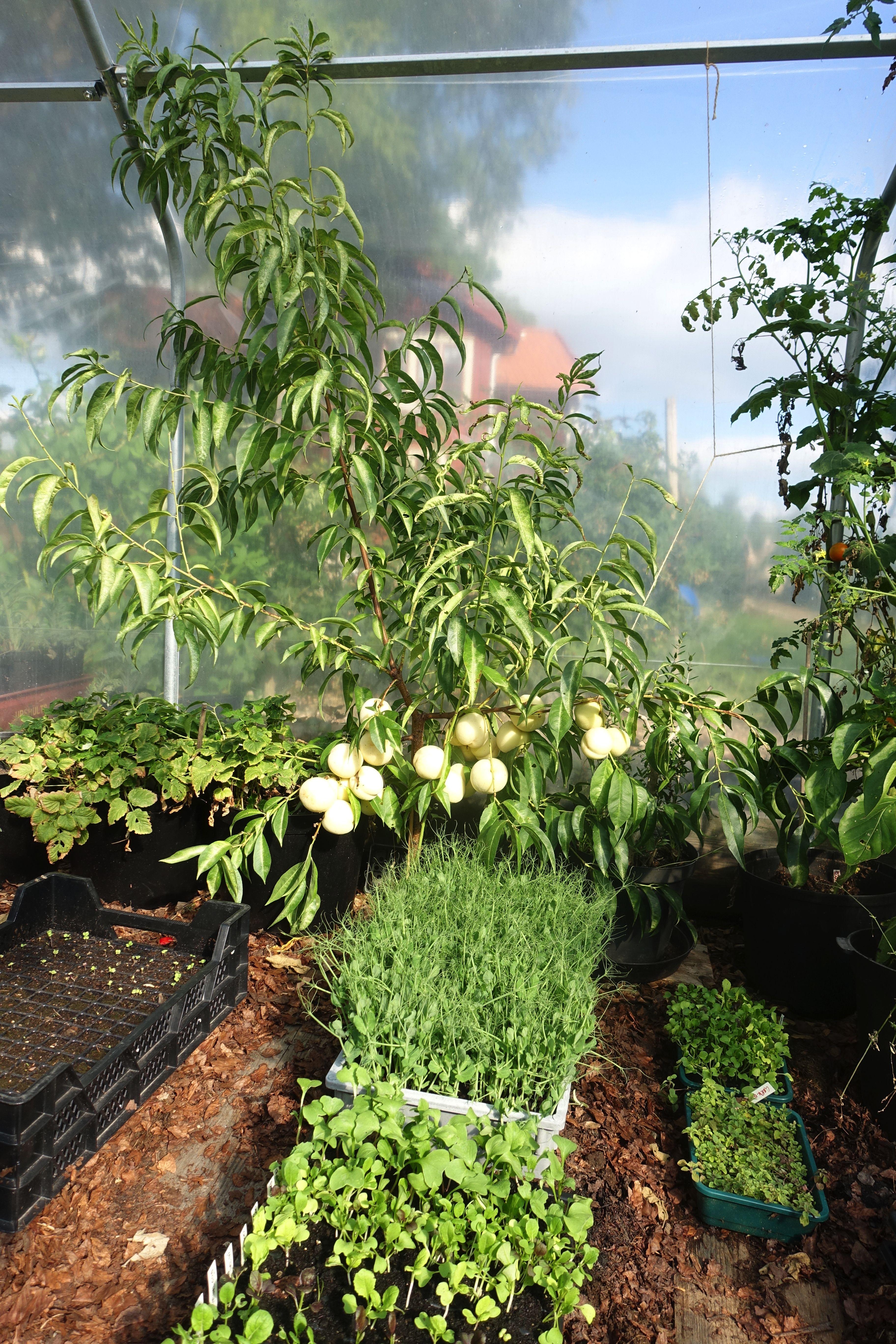 Ett litet träd i ett växthus, bakom stora tråg med små gröna plantor. White peach, a little tree in the greenhouse.
