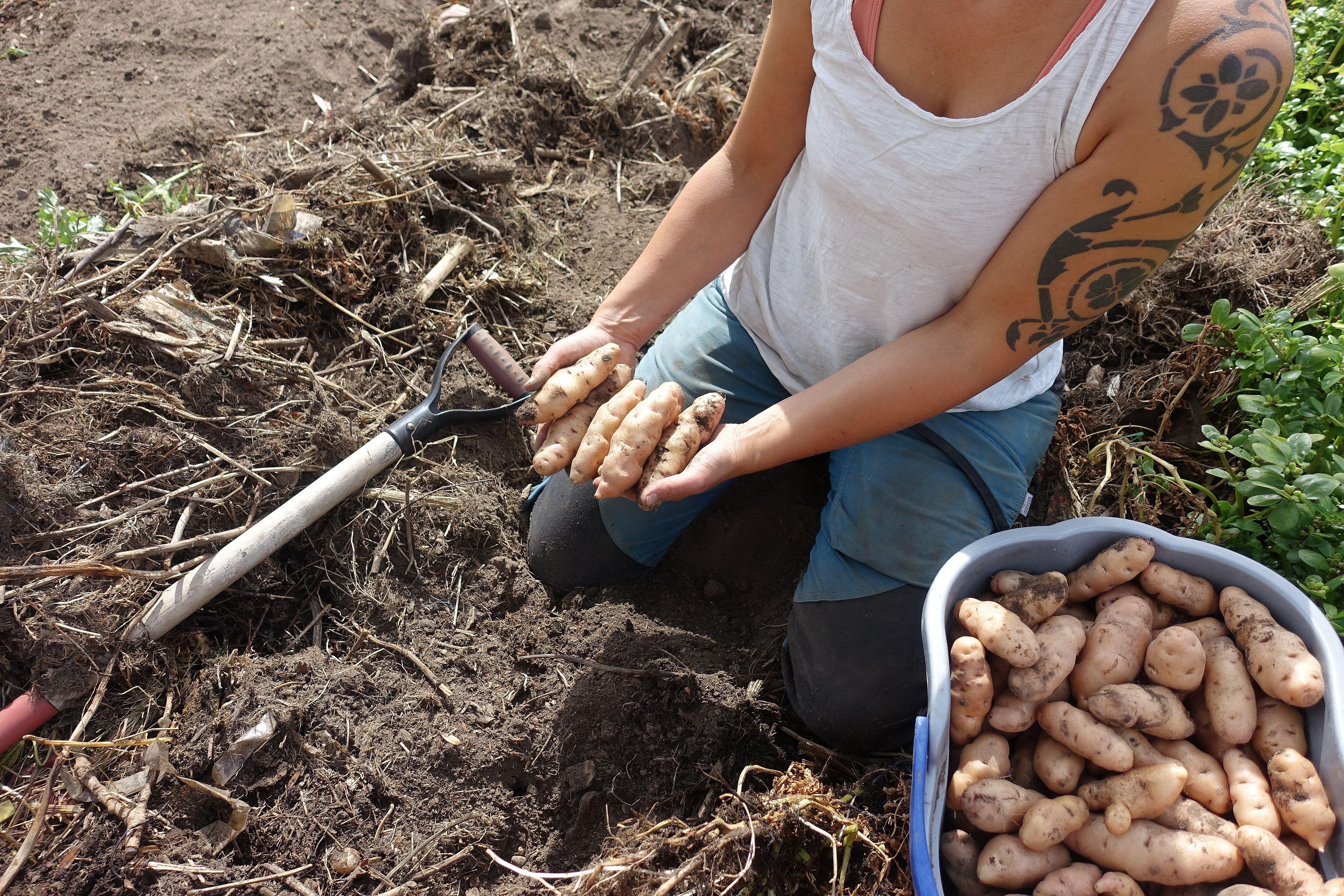 Sara sitter i landet och håller avlång potatis i händerna.Summer sowing, Sara with potatoes