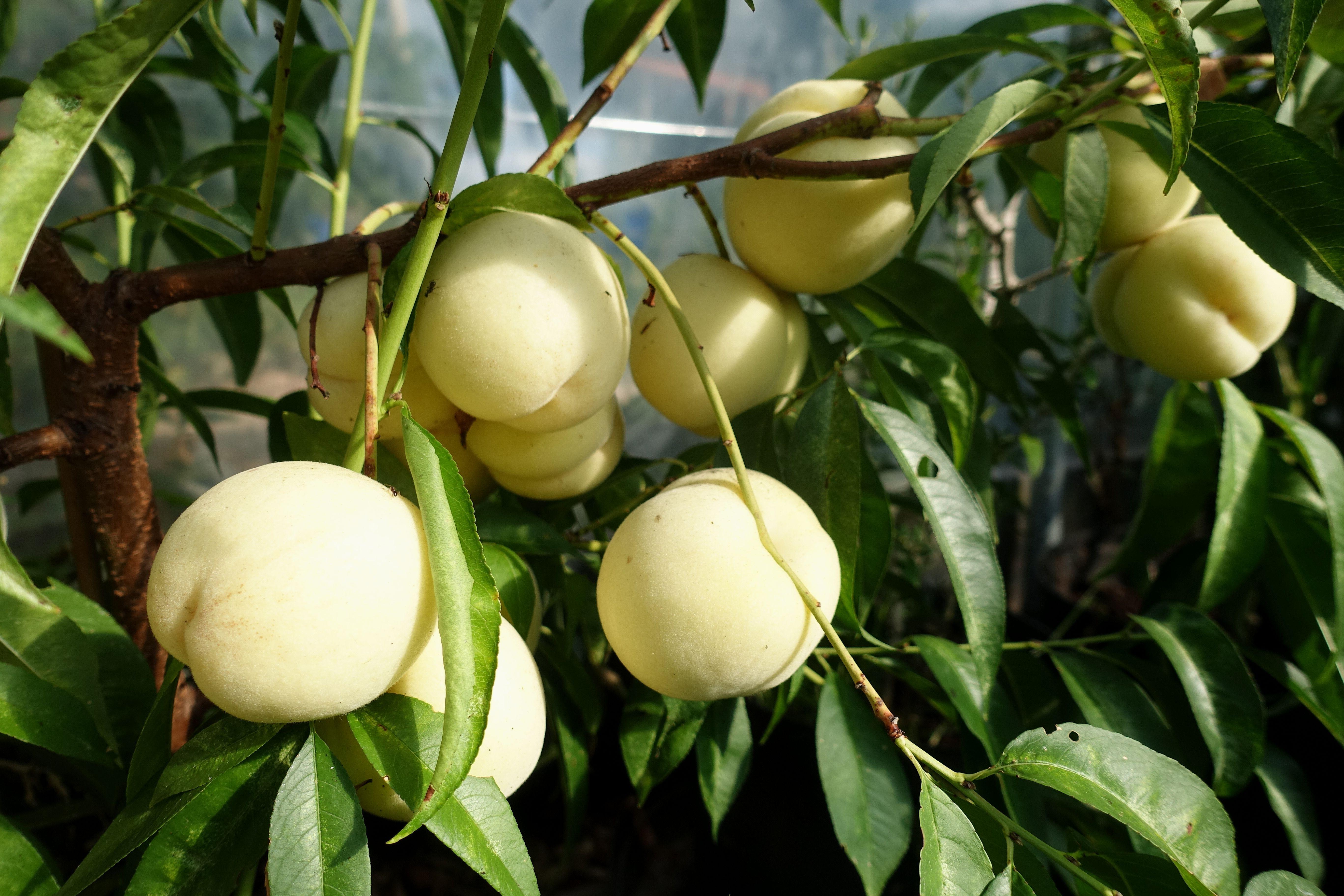 Närbild på en gren som innehåller ett tiotal frukter. White peach, close-up of a branch with fruits.