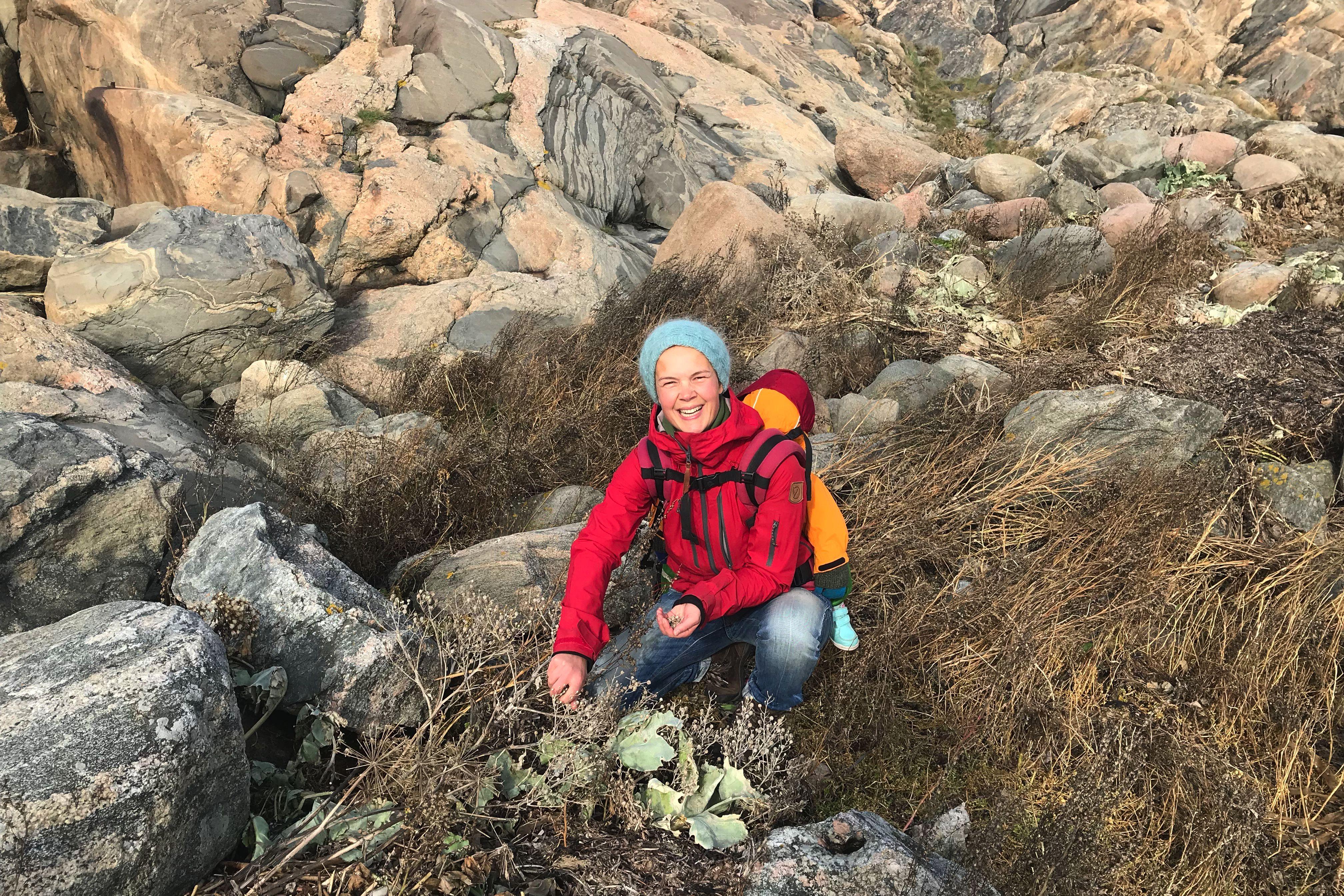 Sara bär ett barn på ryggen och plockar frö av strandkål framför vackra klipphällar. Collecting sea kale seeds, Sara is picking the seeds.
