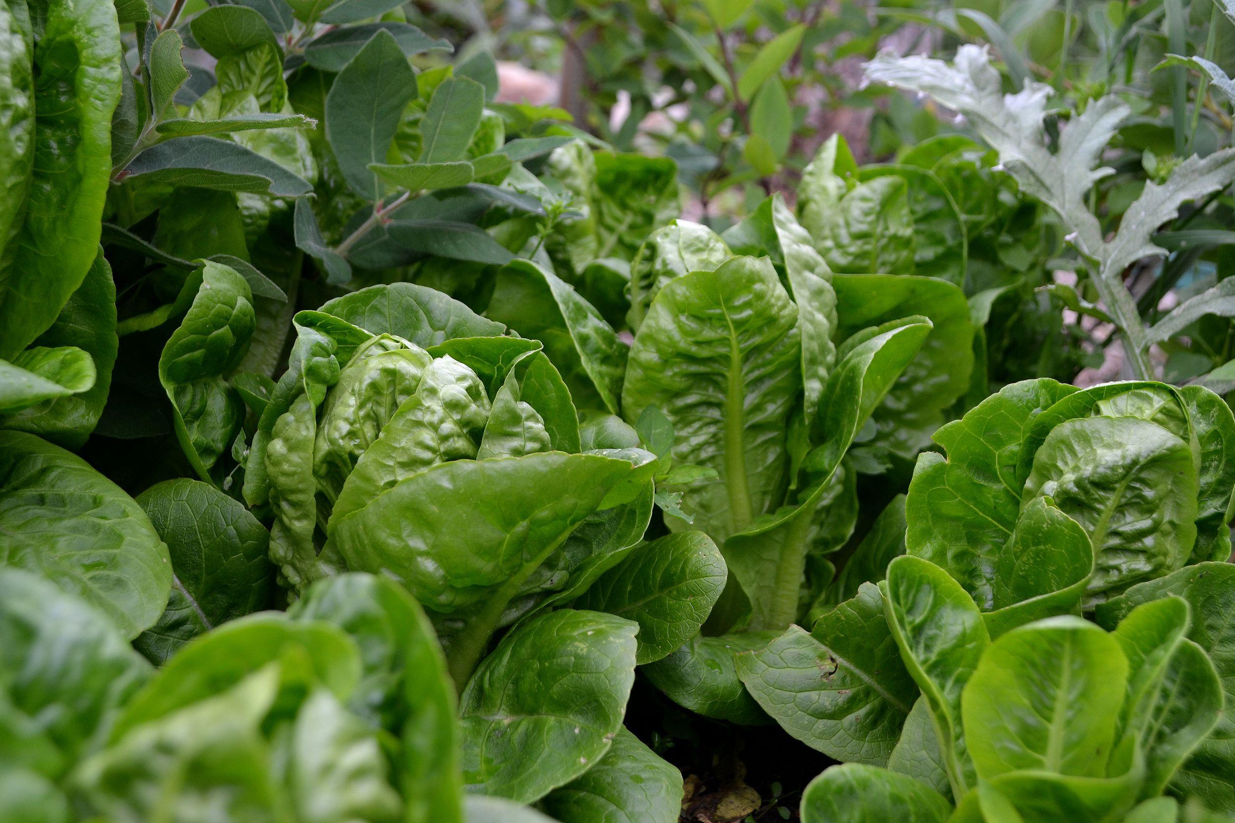 My Favorite Lettuce Sara Bäckmo