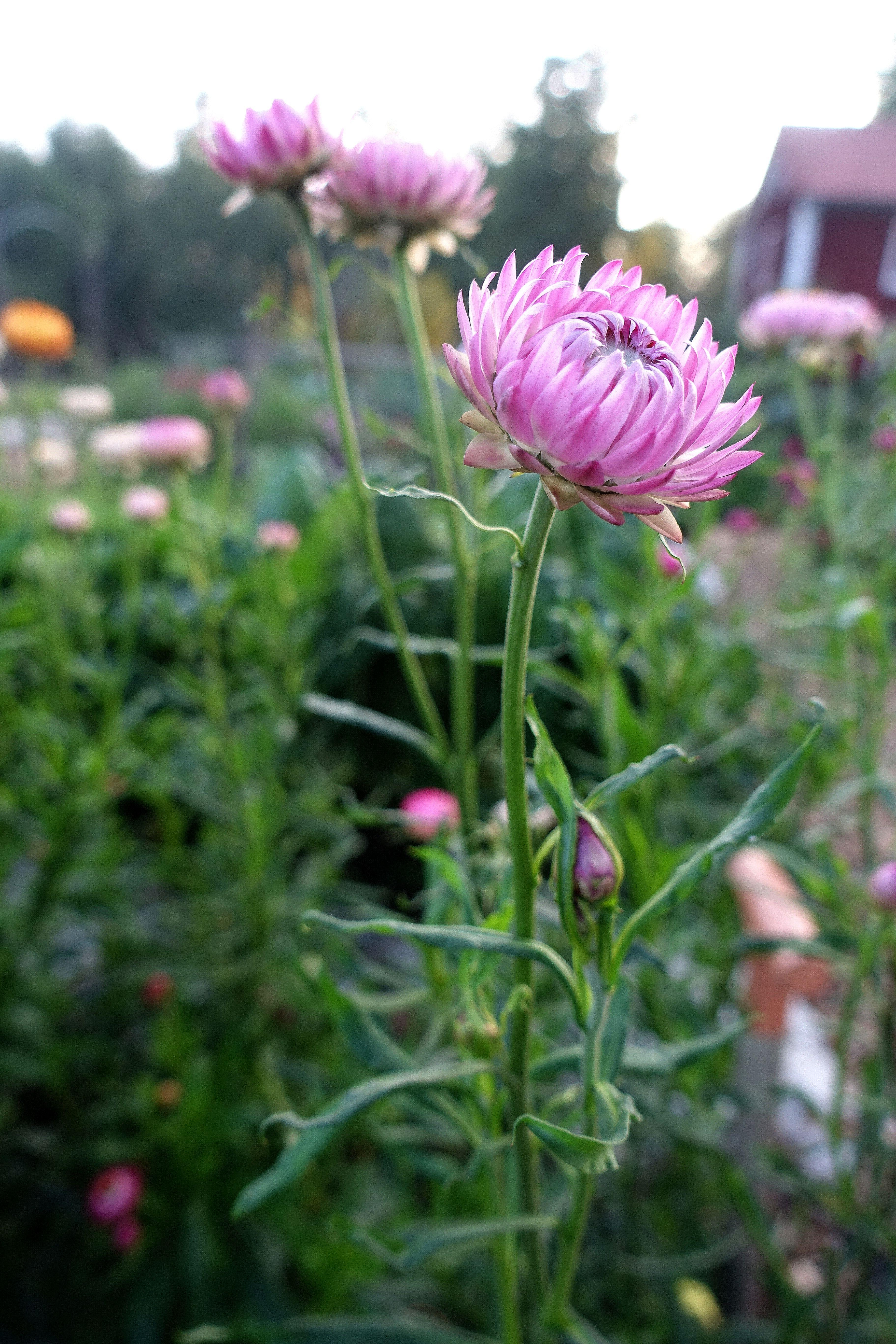 Närbild på en rosa blomma. Close up of a pink everlasting flower.