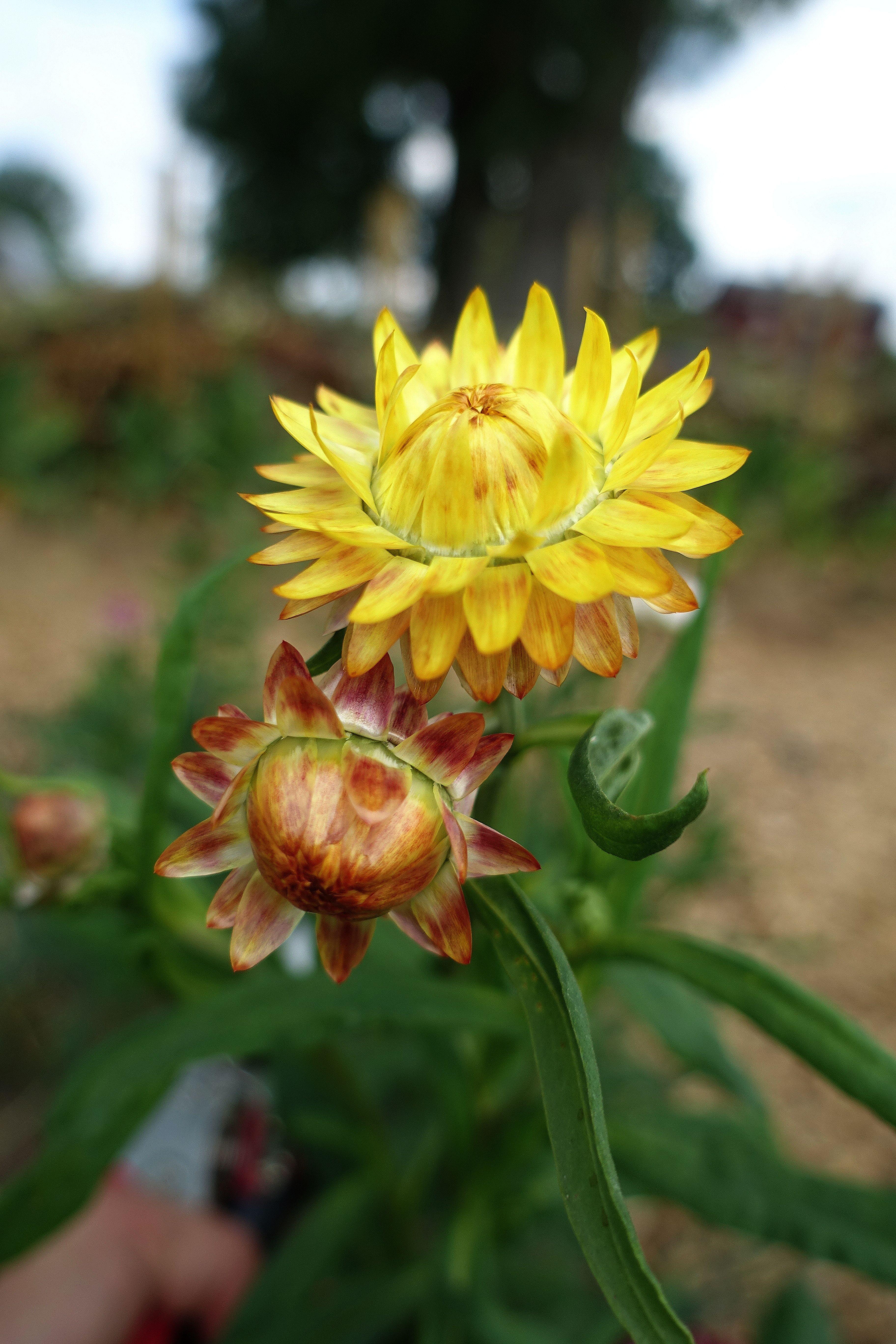 En bild på en gul blomma och en knopp. Yellow everlasting flower.
