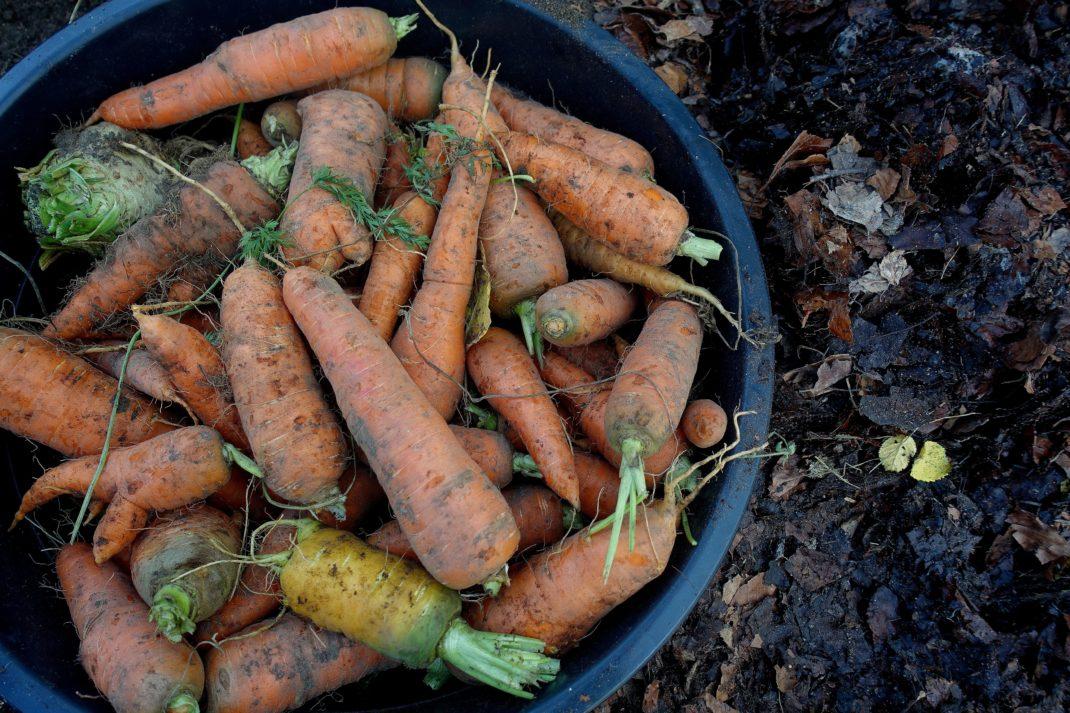 En hink fylld av morötter. Store carrots, a bucket filled.
