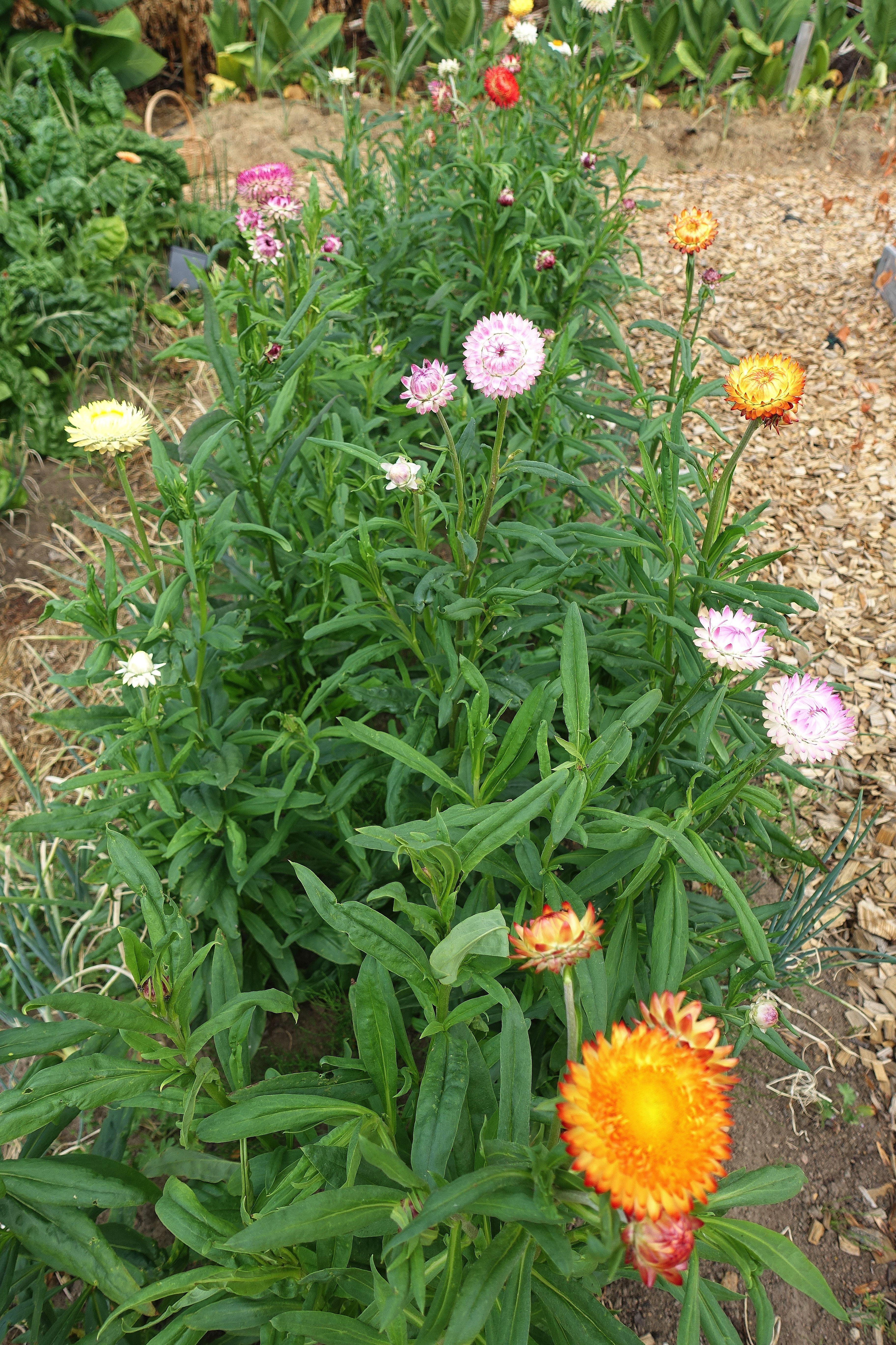 Bild på plantering med gröna växter med fägglada små blommor i toppen, de ser ut som bollar. The flower bed where I grow my everlasting flowers.