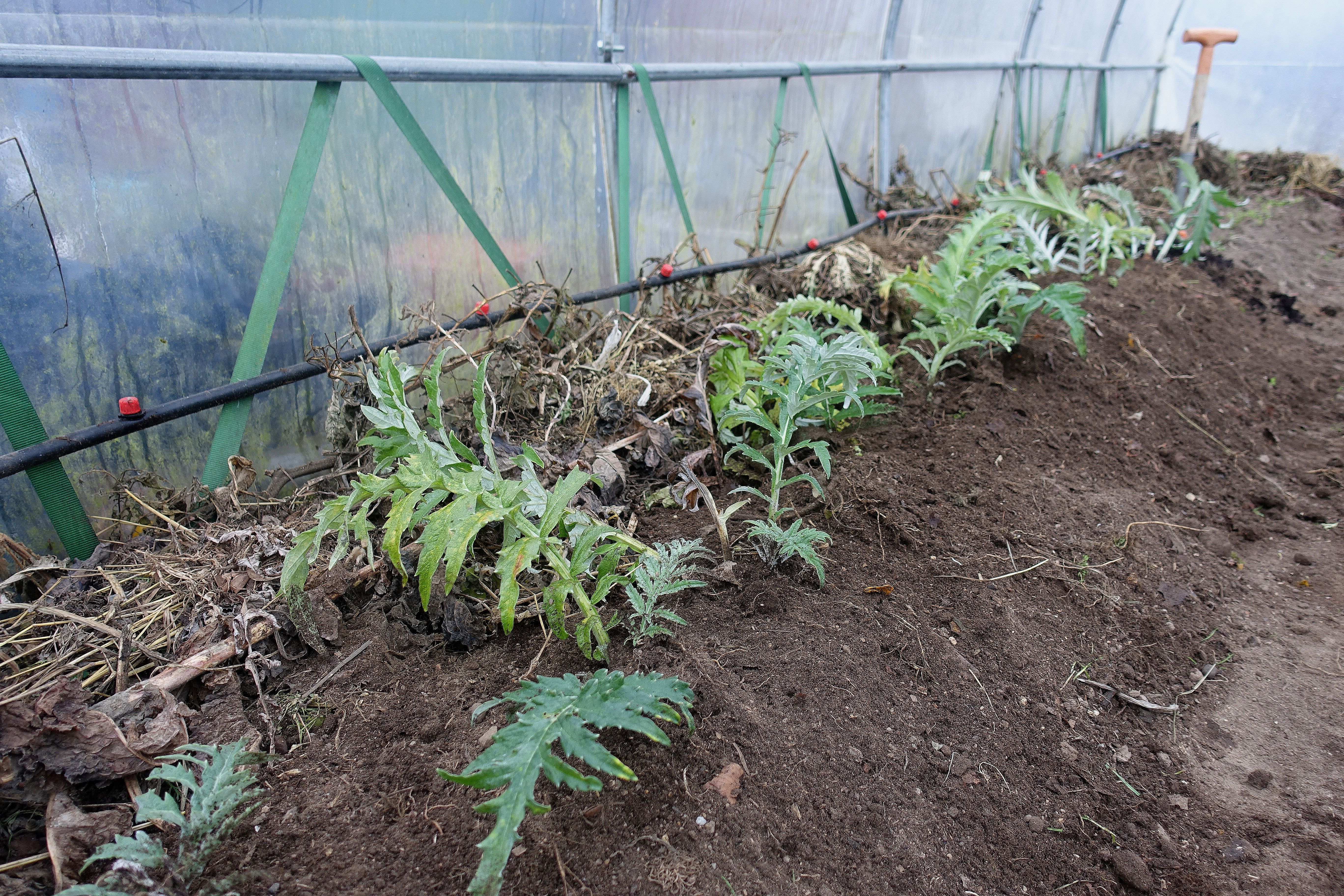 En bild som visar hela planteringen med flikiga kronärtskocksblad som tittar upp ur jorden.