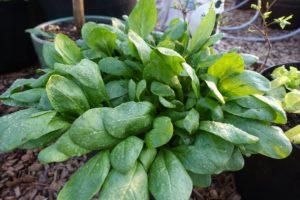 En kruka med stora gröna spenatblad som väller ut över kanten.