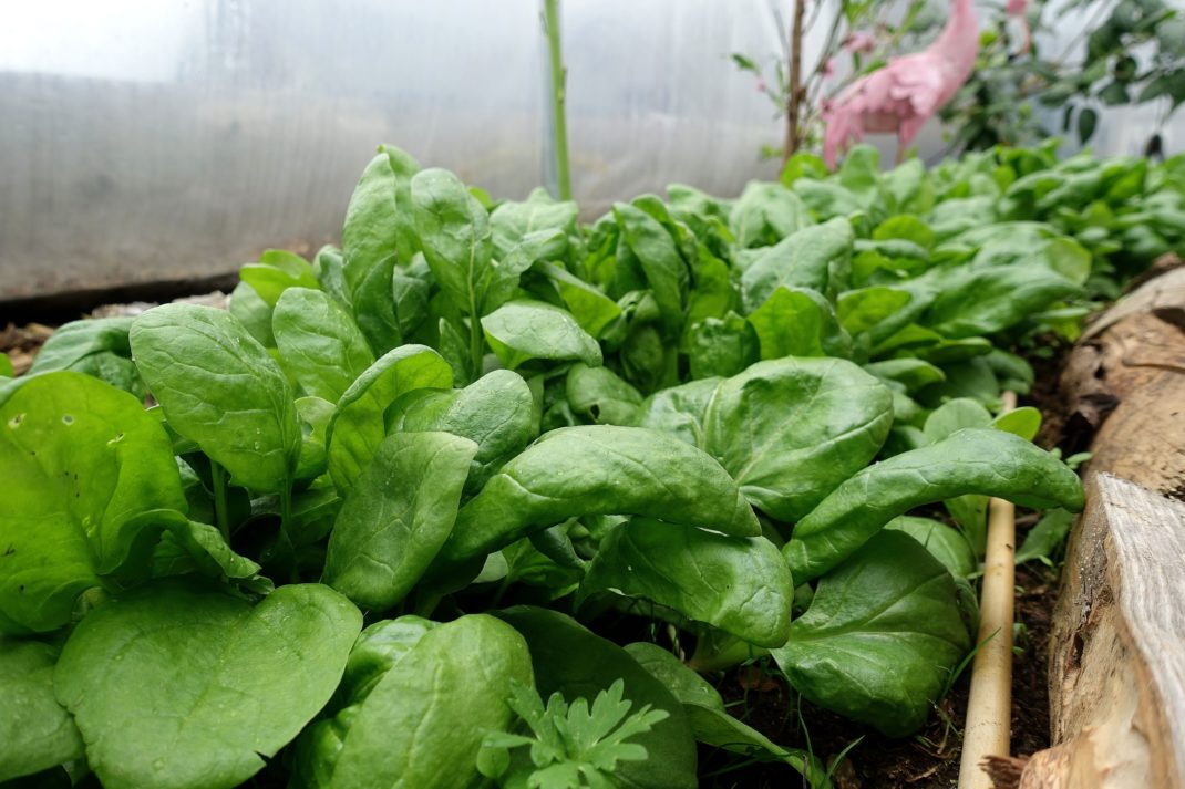 A wide mat of leafy greens.