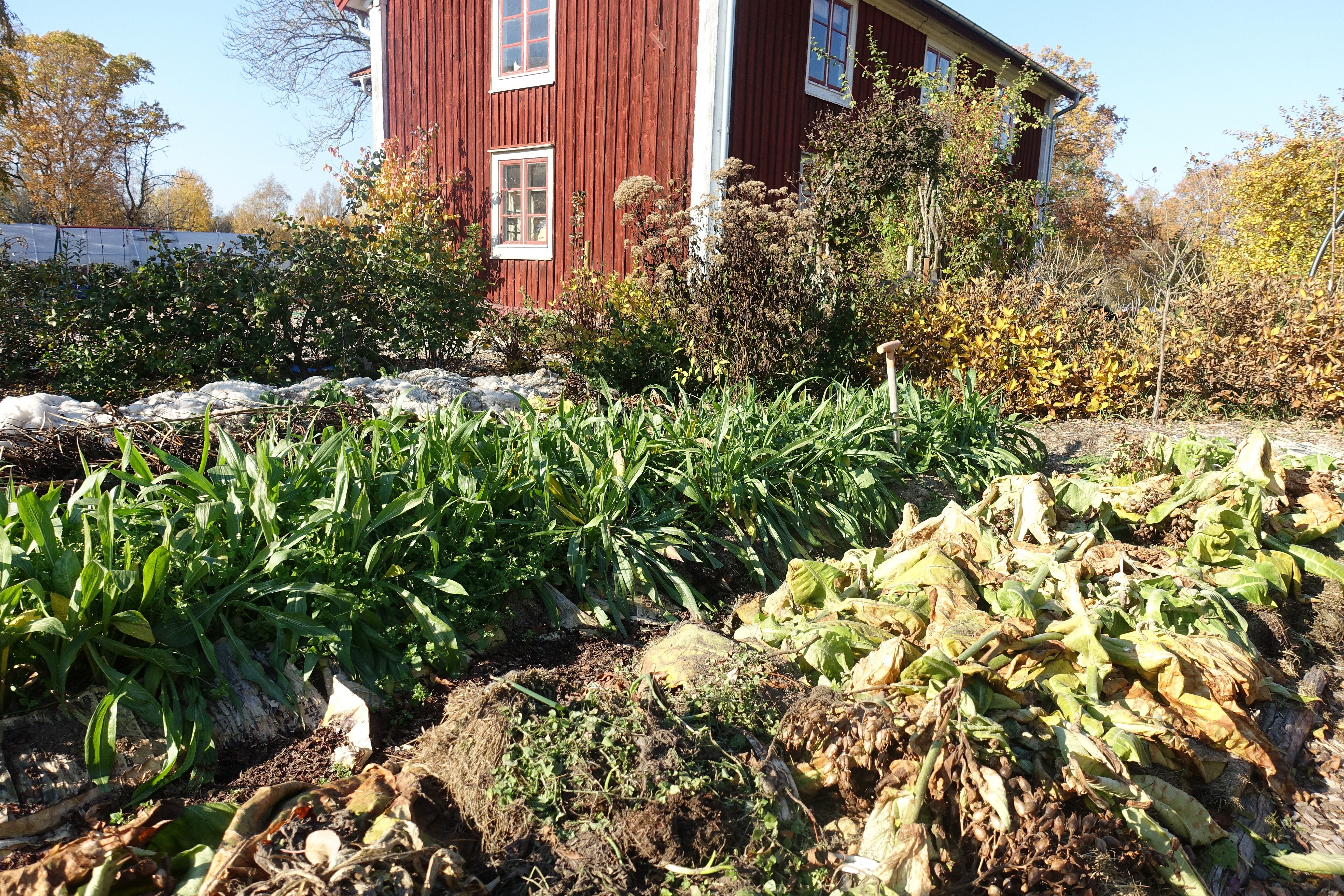 En köksträdgård på hösten med gröna blad som sticker upp ur en bädd. Black salsify leaves in the bed.