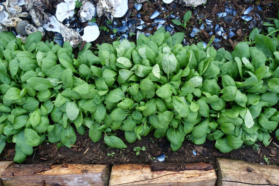 Grow spinach in january, a large bed.