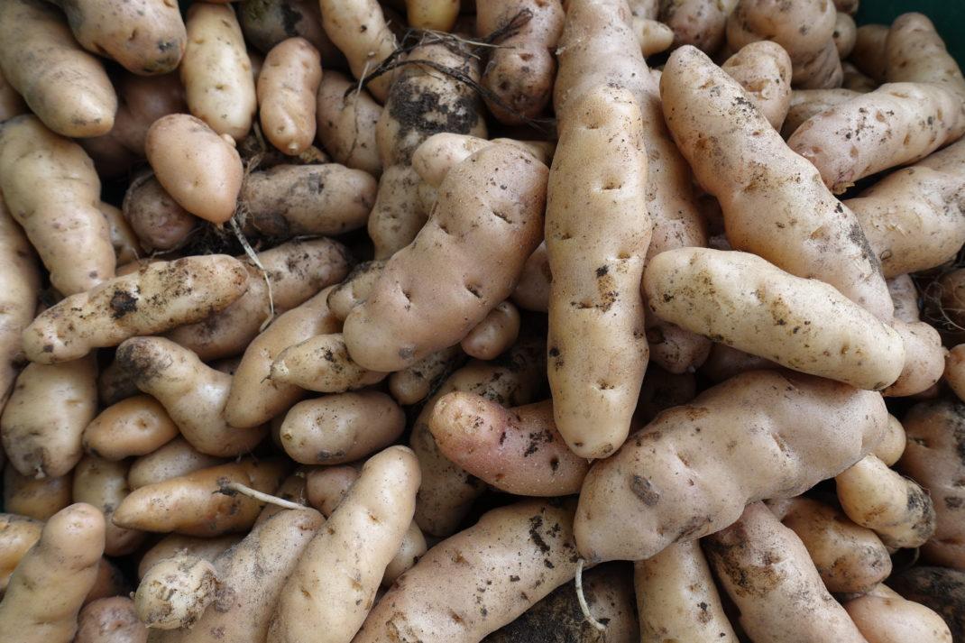 Growing potatoes, a close-up of a potato.