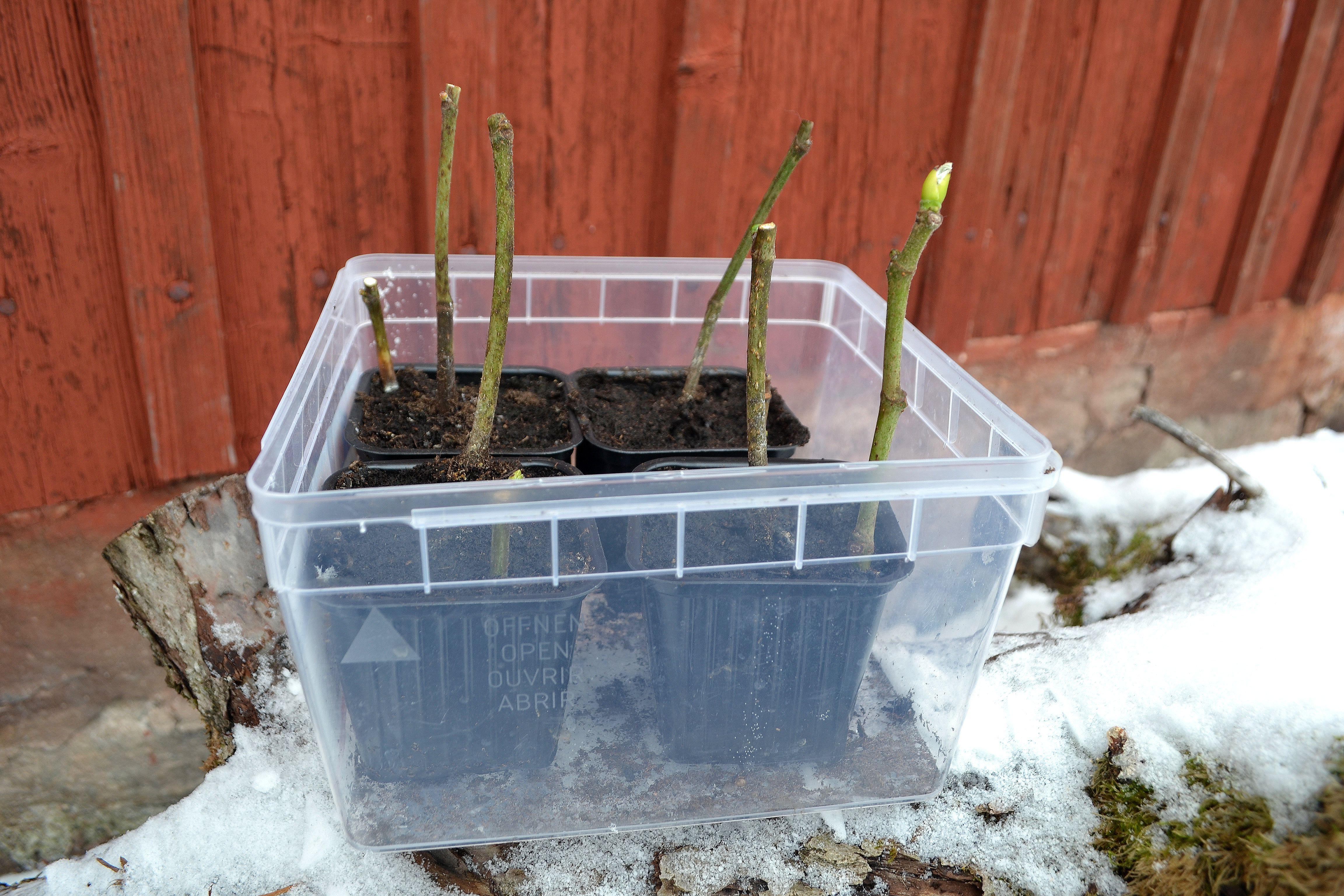 En genomskinlig låda med fyra krukor med kala pinnar i jord. Propagating figs, a see-through box with four pots.