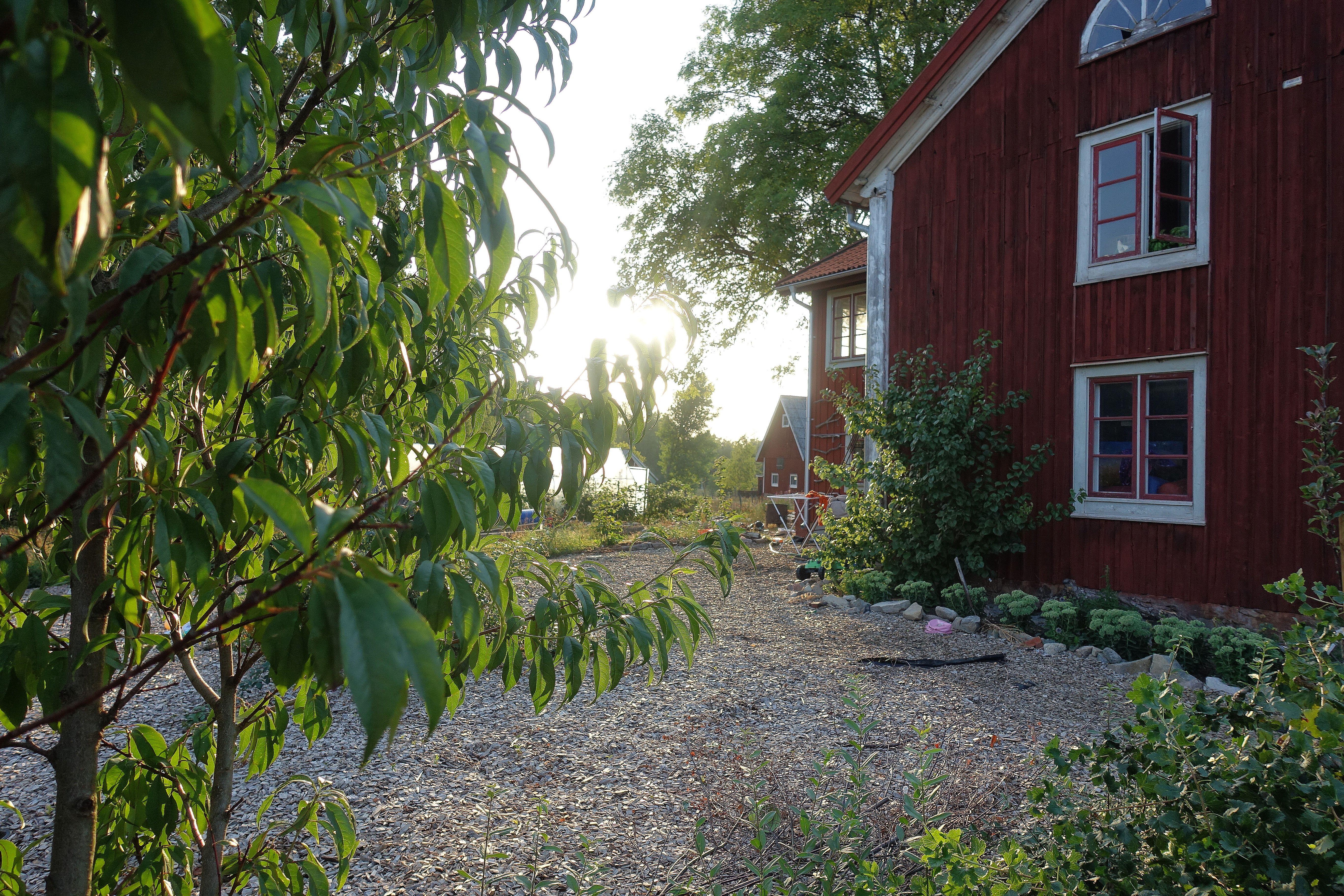 En bild från trädgården i solnedgång med ett grönt träd i förgrunden - ett persikoträd. Peach varieties, my garden in the sunset.