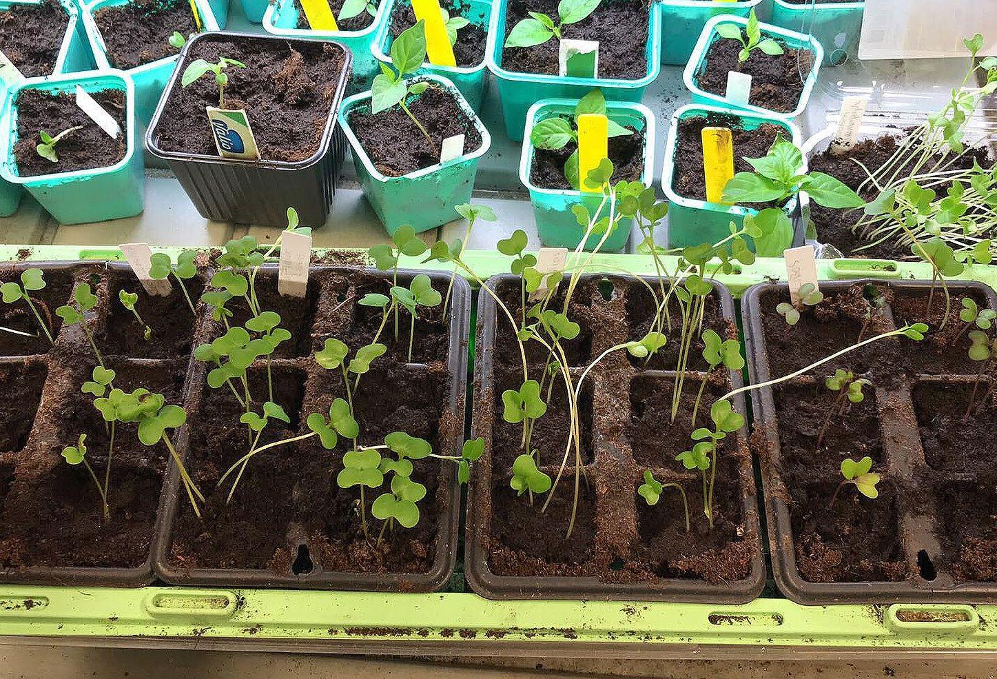Bild på ett tråg med väldigt smala och långa små plantor. Leggy plants, a trough with thin and long plants.