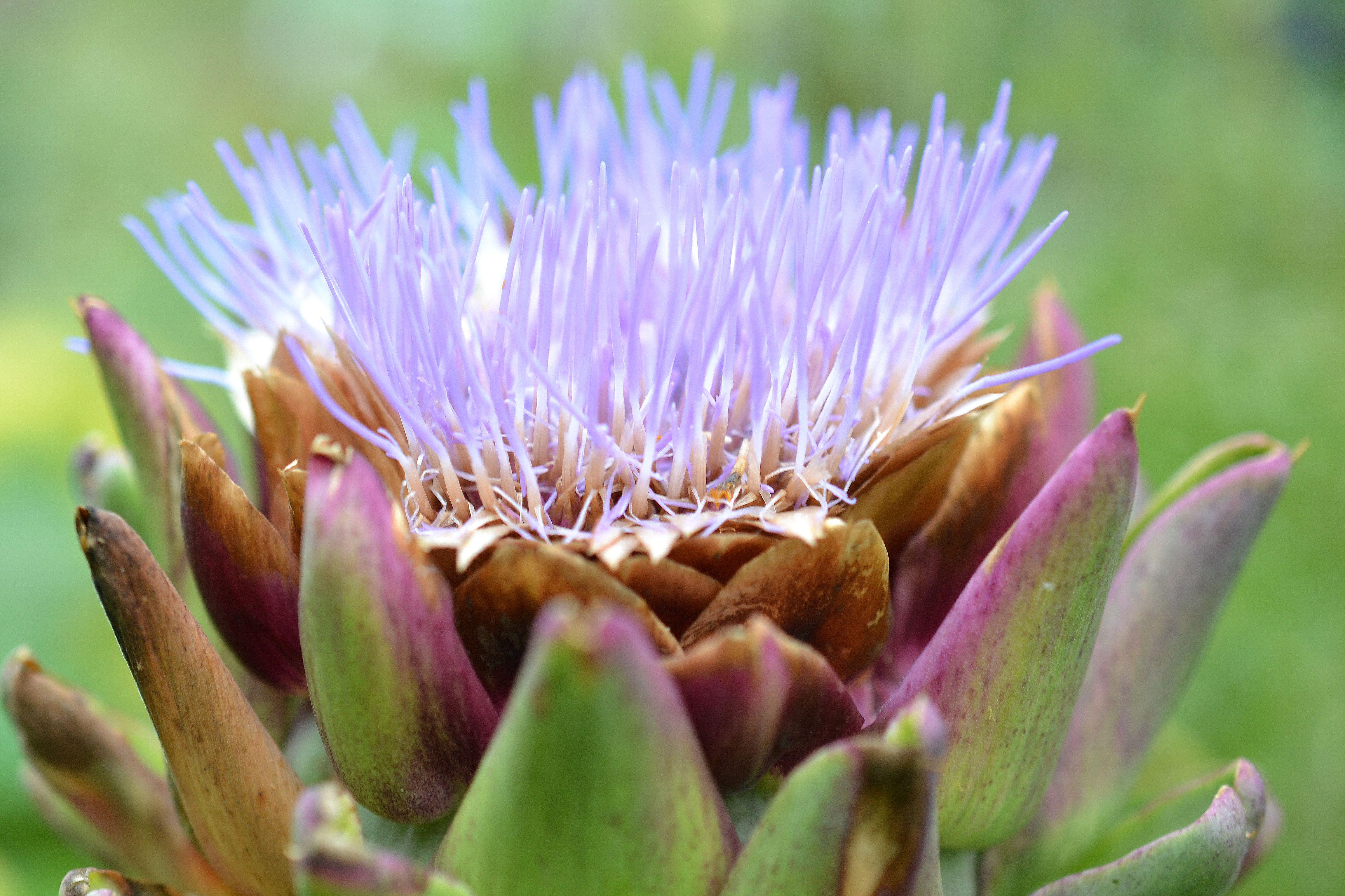 En vacker lila blomma som slår ut ur en taggig stor tistelknopp - kronärtskocka. January sowings, a purple flower.