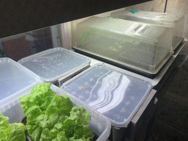 Små minidrivhus av plast under en stark växtbelysning.