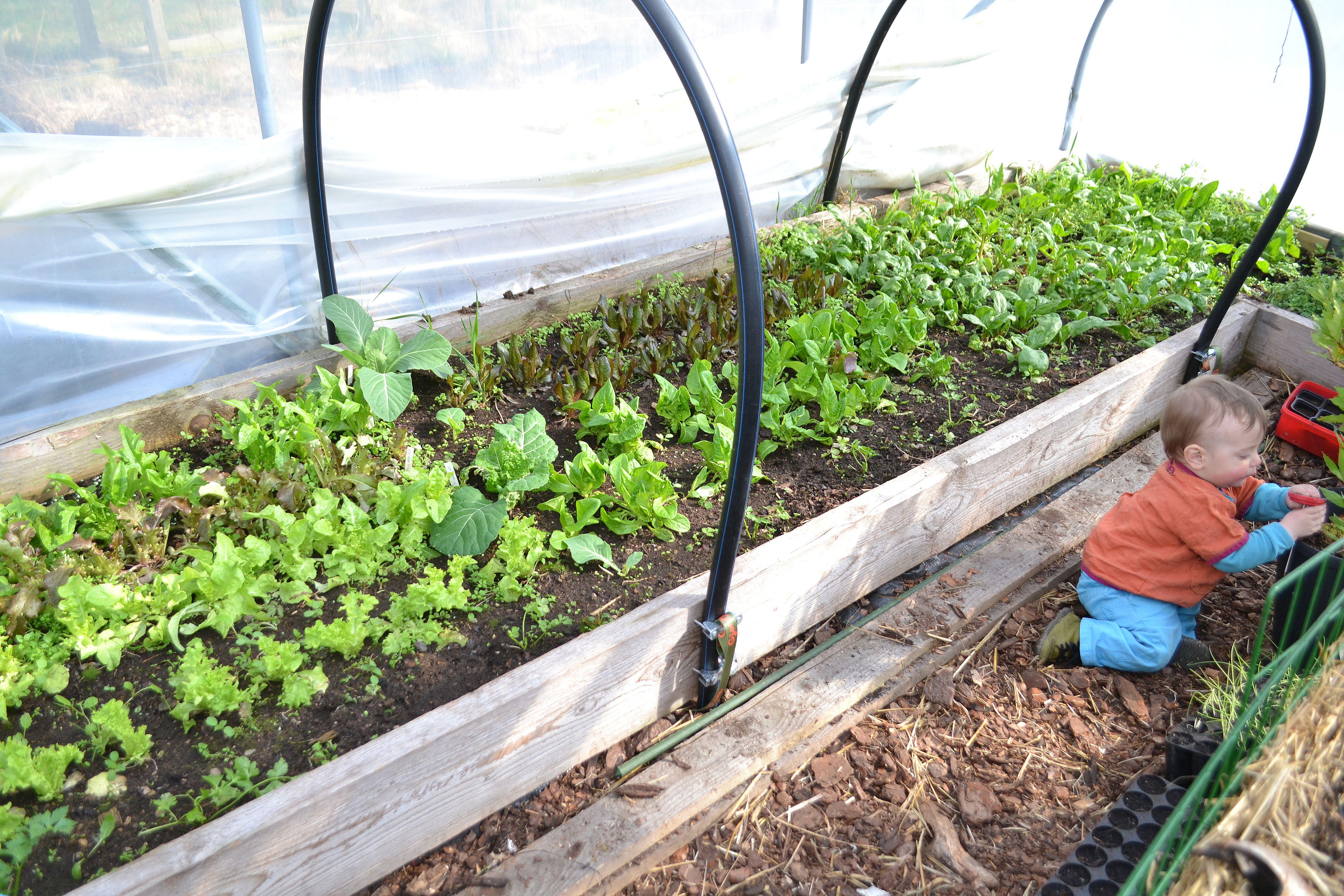 En odlingsbädd full med små gröna plantor med sallat i olika färger. Building a polytunnel, green little plants.