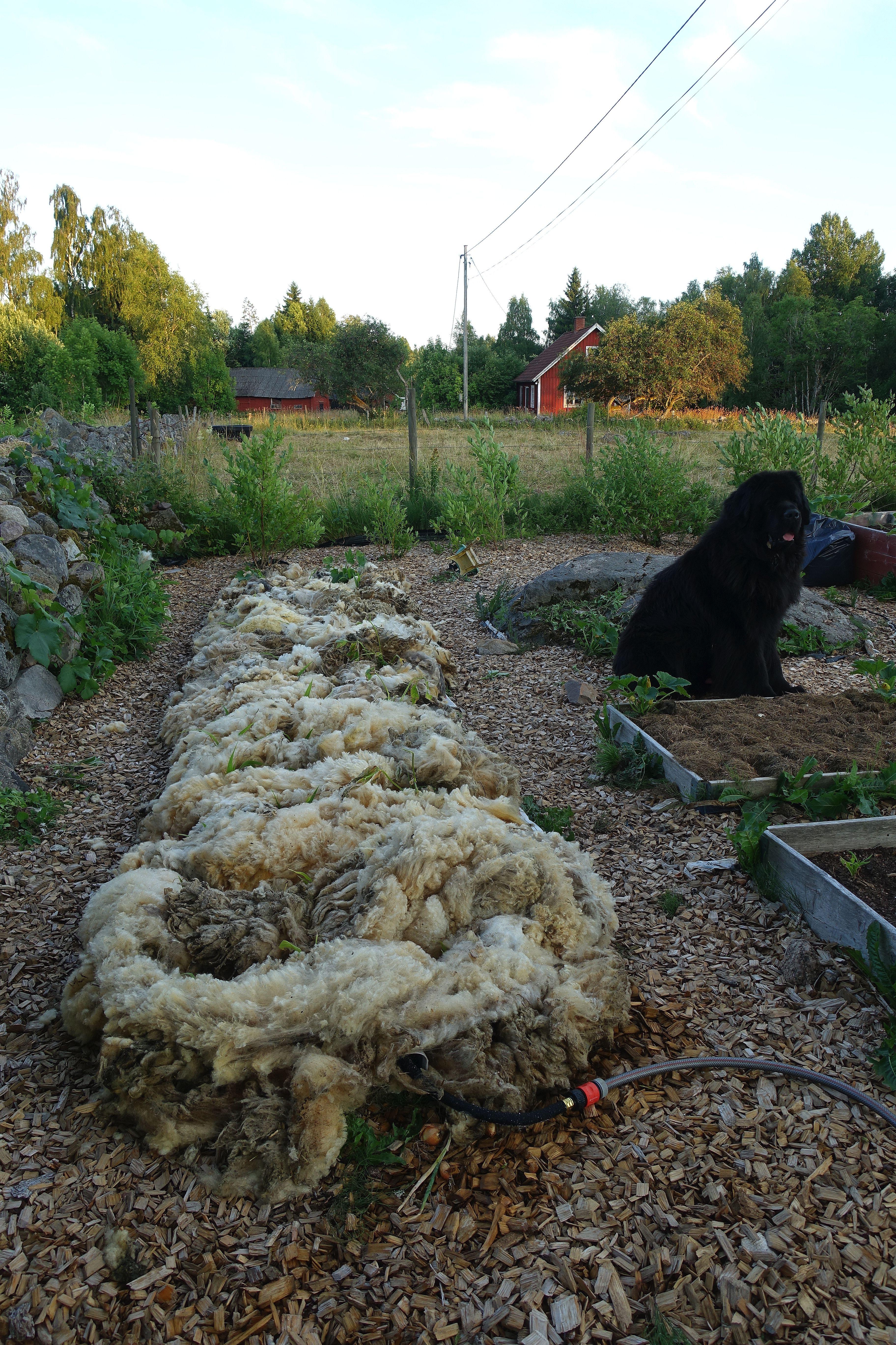 Bild från trädgården med ull ovanpå bädden och en stor svart hund som sitter bredvid. Soaker hose, mulching with wool.