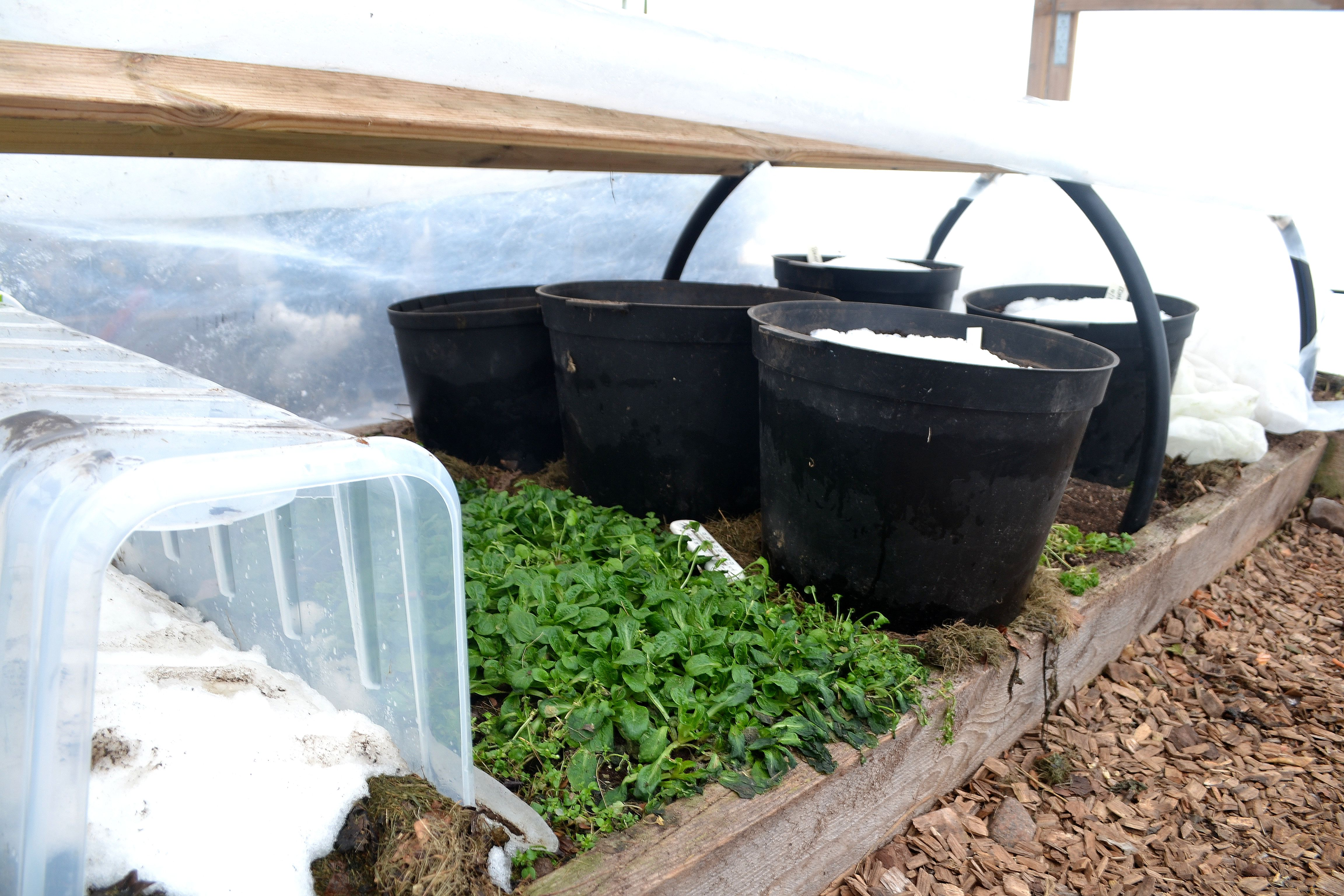 Tunnelväxthuset har öppnats och visar en odlingsyta med små gröna blad och en del krukor med jord. Building a polytunnel.