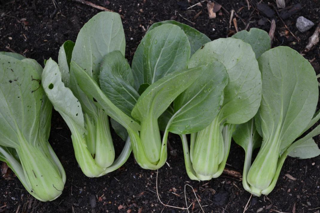 Skördar pak choi ligger på jorden i trädgården. Grow bok choy microgreens, harvesting the bok choy.