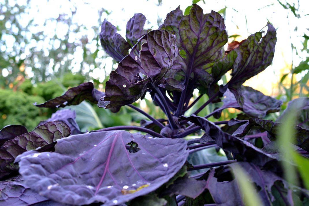 En vacker rödlila planta i motljus.