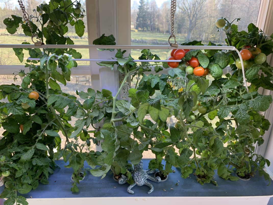 Fönstret med odlingsbehållaren fotograferad på närmare håll. Early tomatoes in the window.