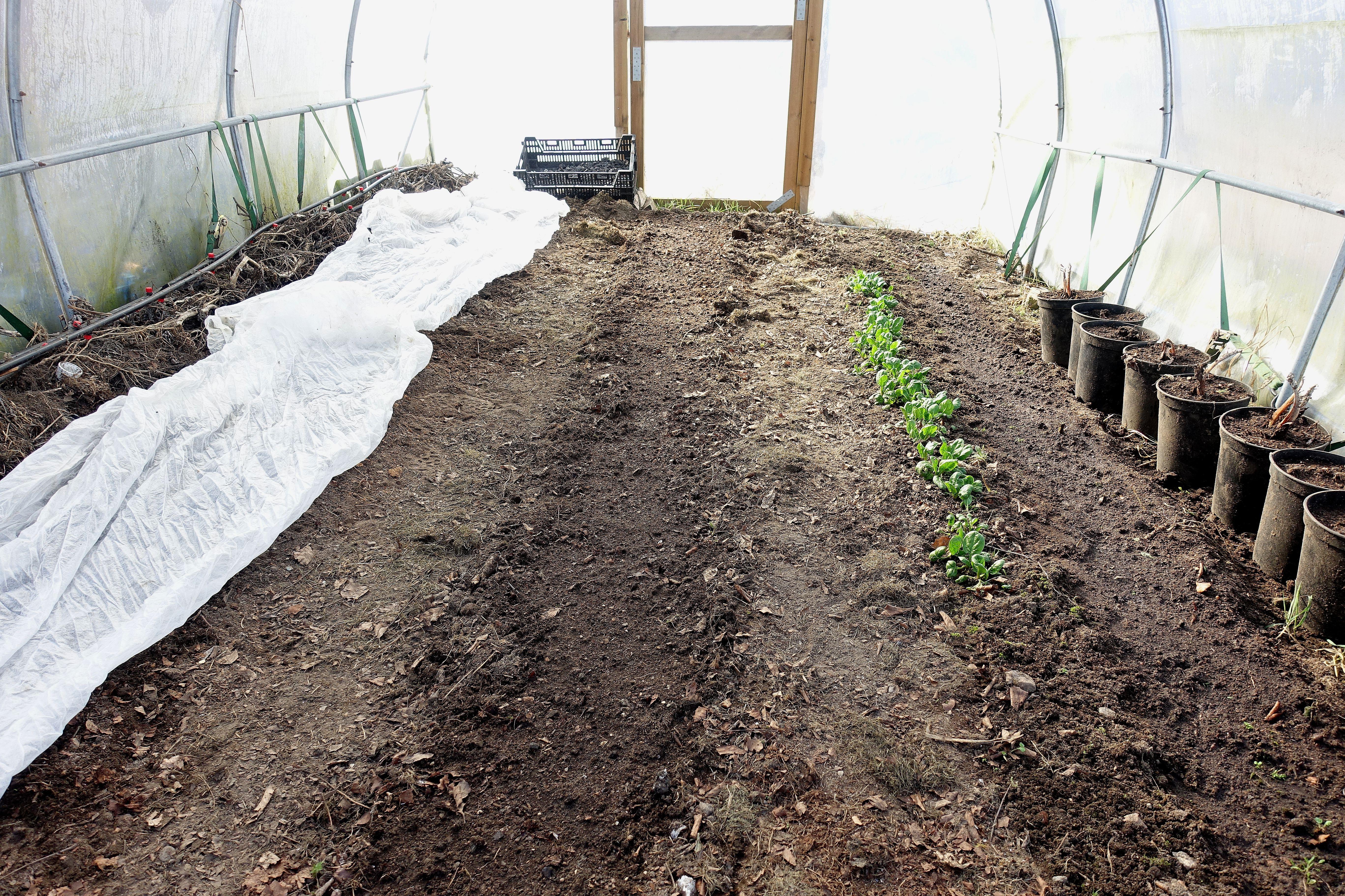 Tunnelväxthuset med en vit fiberduk över jorden till vänster. Early onion, the polytunnel with row cover.