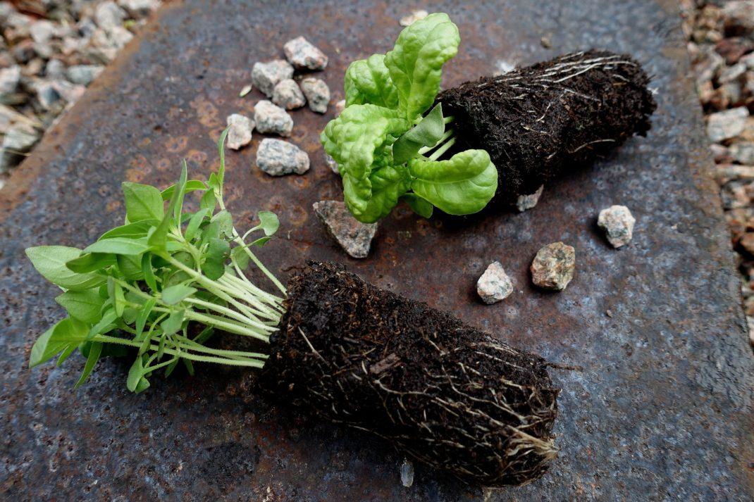 Två klumpar med små plantor av basilika ligger på en gammal plåt. Grow indoors, two basil plants.
