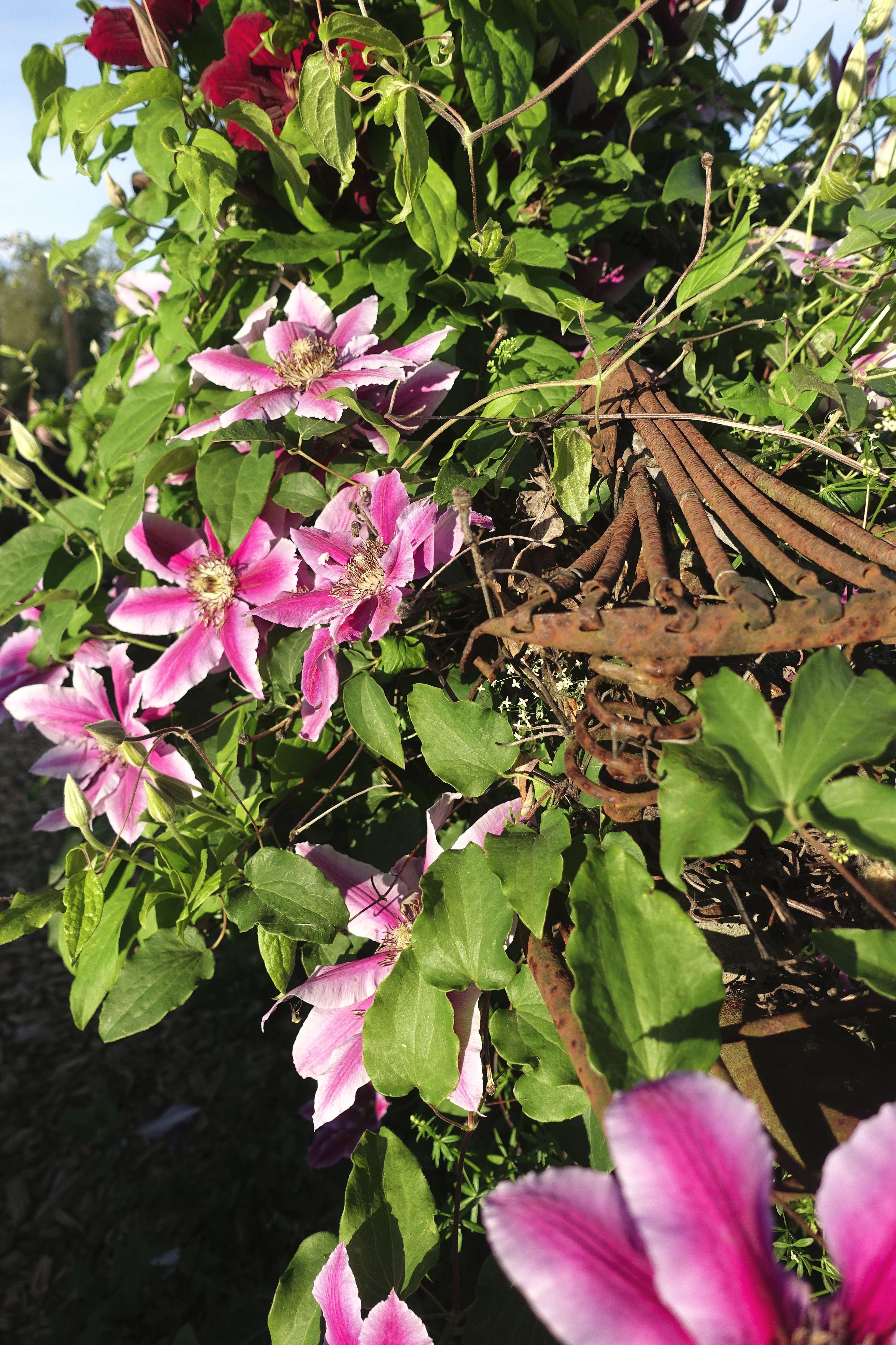 Rosa blommor bland grönt bladverk. Pink clematis flowers.